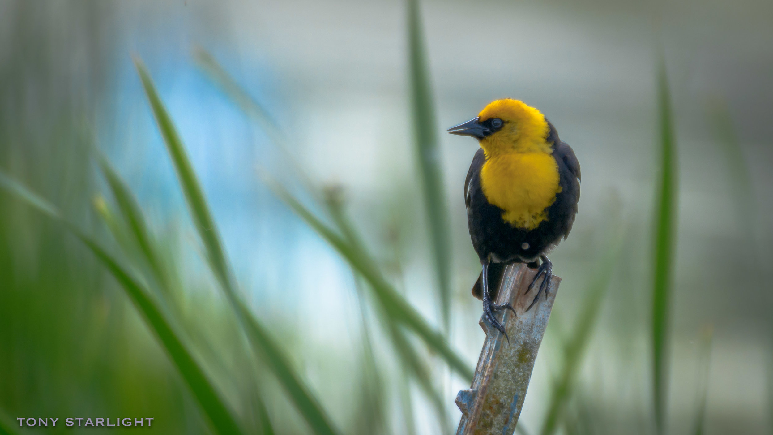 58) Yellow-headed Blackbird - June 13, 2016Sauvie Island, Oregon