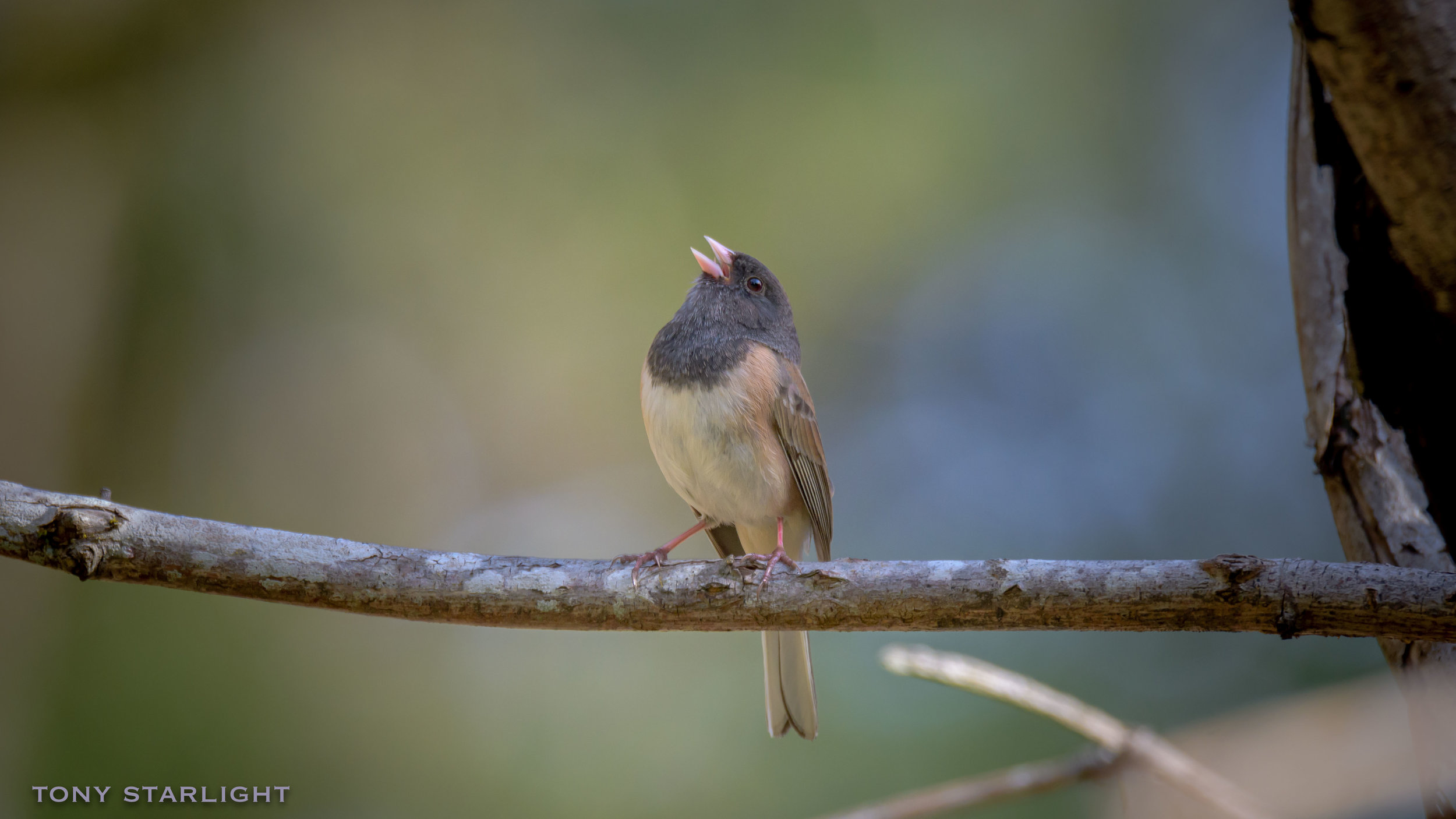 42) Dark-eyed Junco - May 29, 2016Scappoose, Oregon