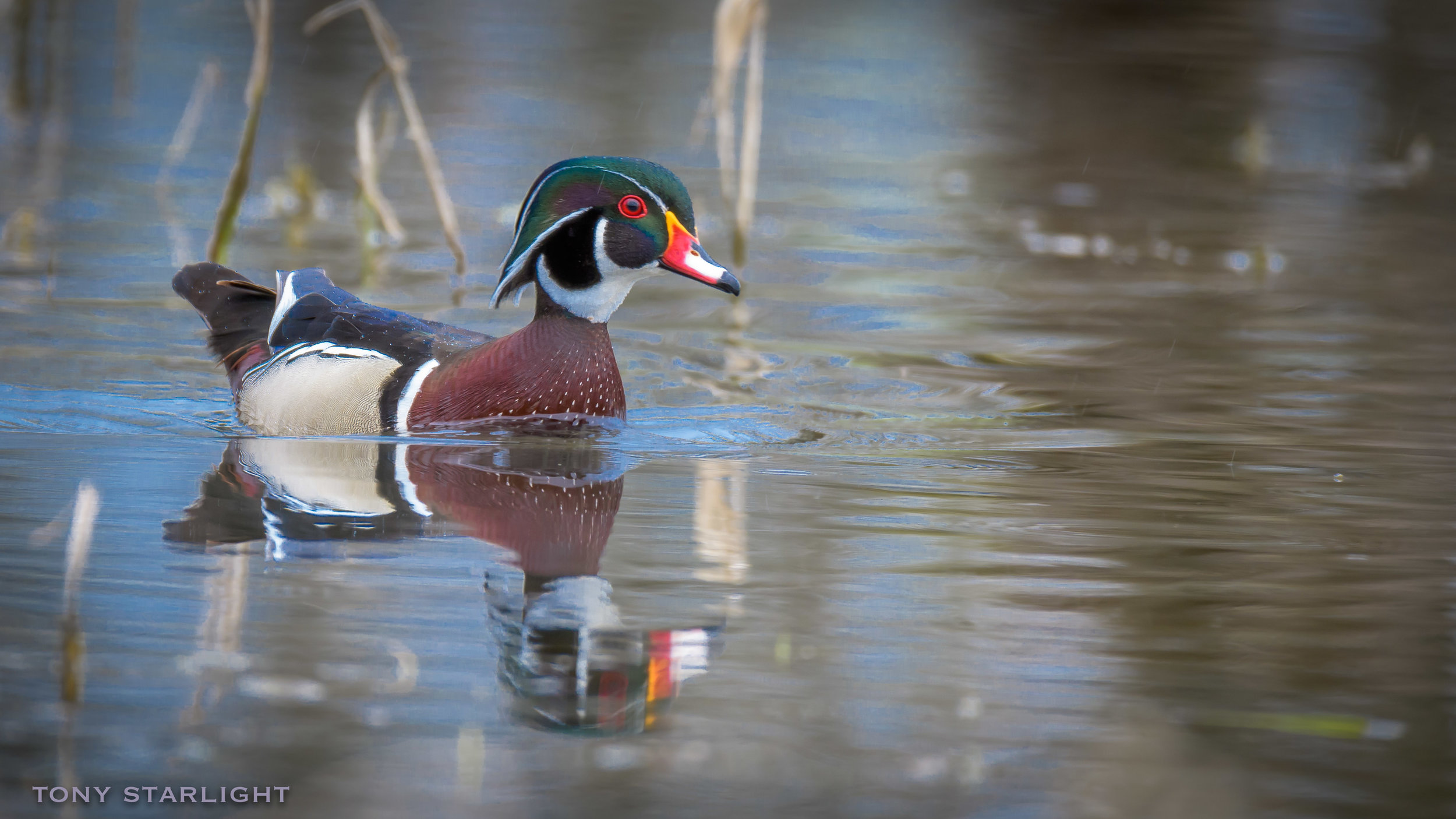 10) Wood Duck - April 6, 2016Scappoose, Oregon