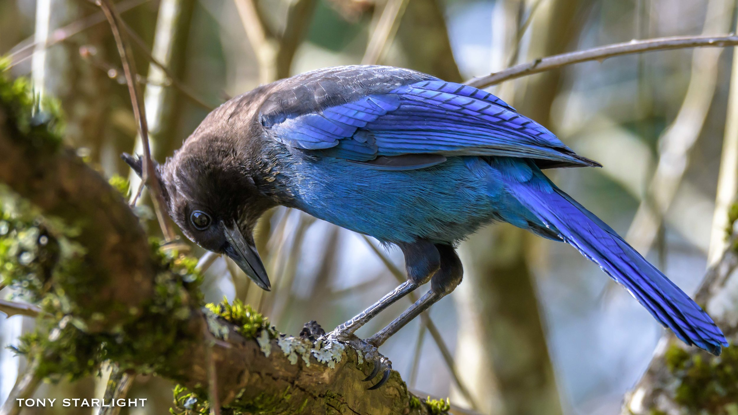 4)Steller's Jay - April 4, 2016 Scappoose, Oregon