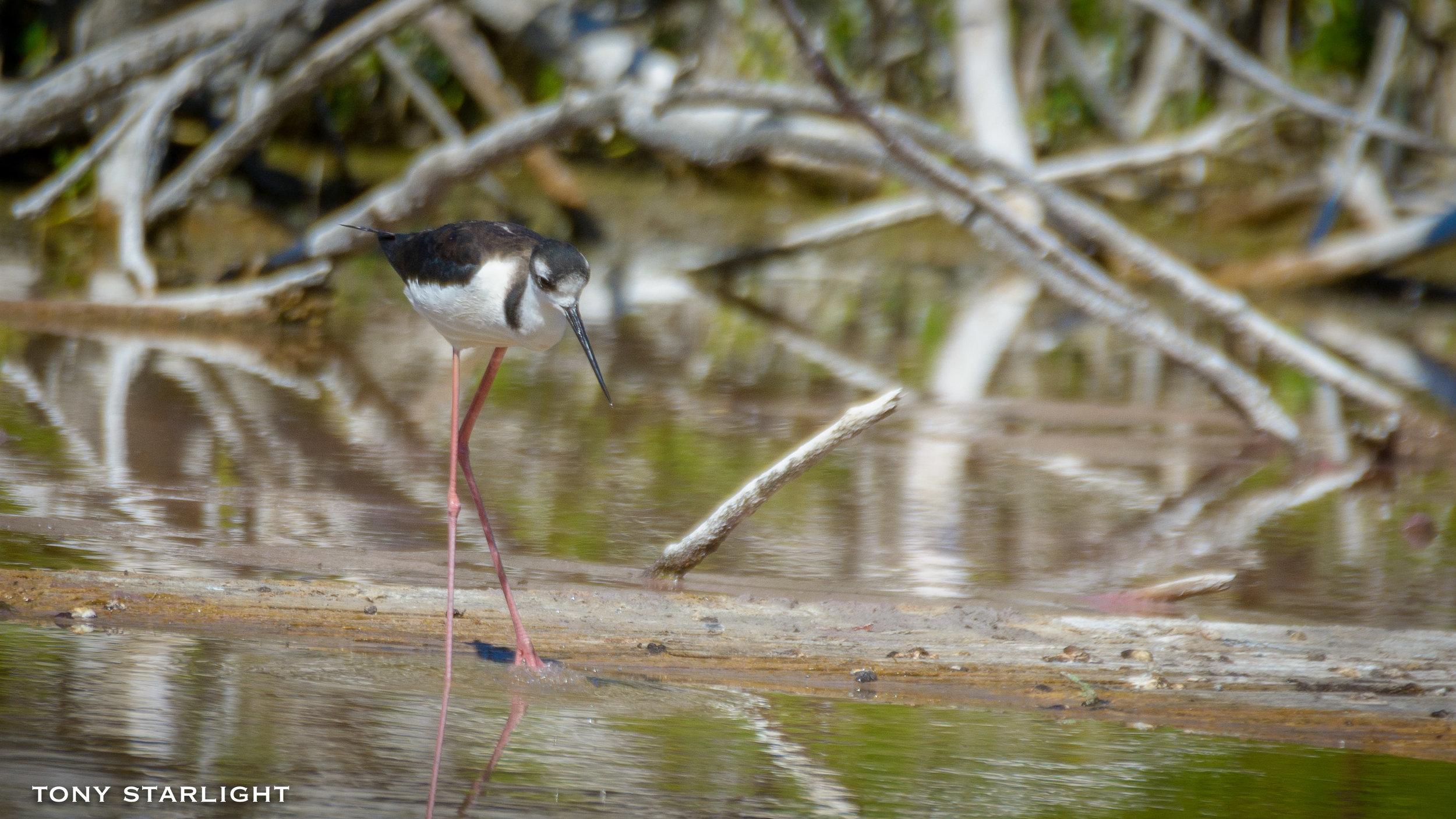 188) Black-necked Stilt - February 6, 2017Florida Everglades
