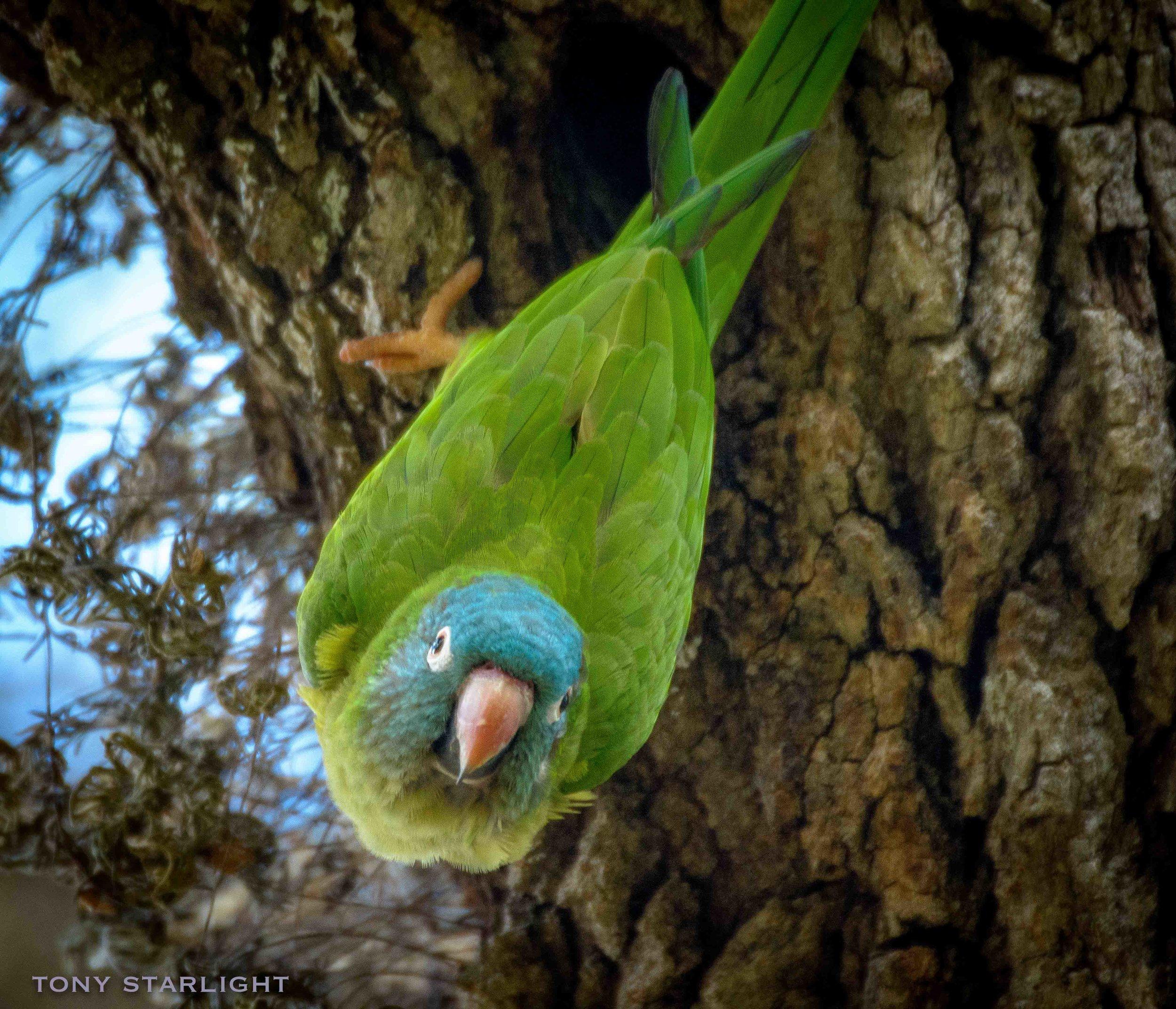 186) Blue-crowned Parakeet - February 6, 2017Miami, Florida