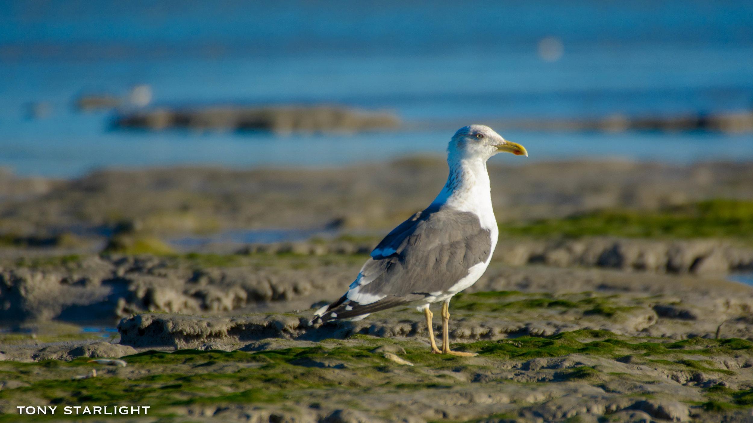 173) Lesser Black-backed Gull - February 2, 2017Sanibel Island, Florida