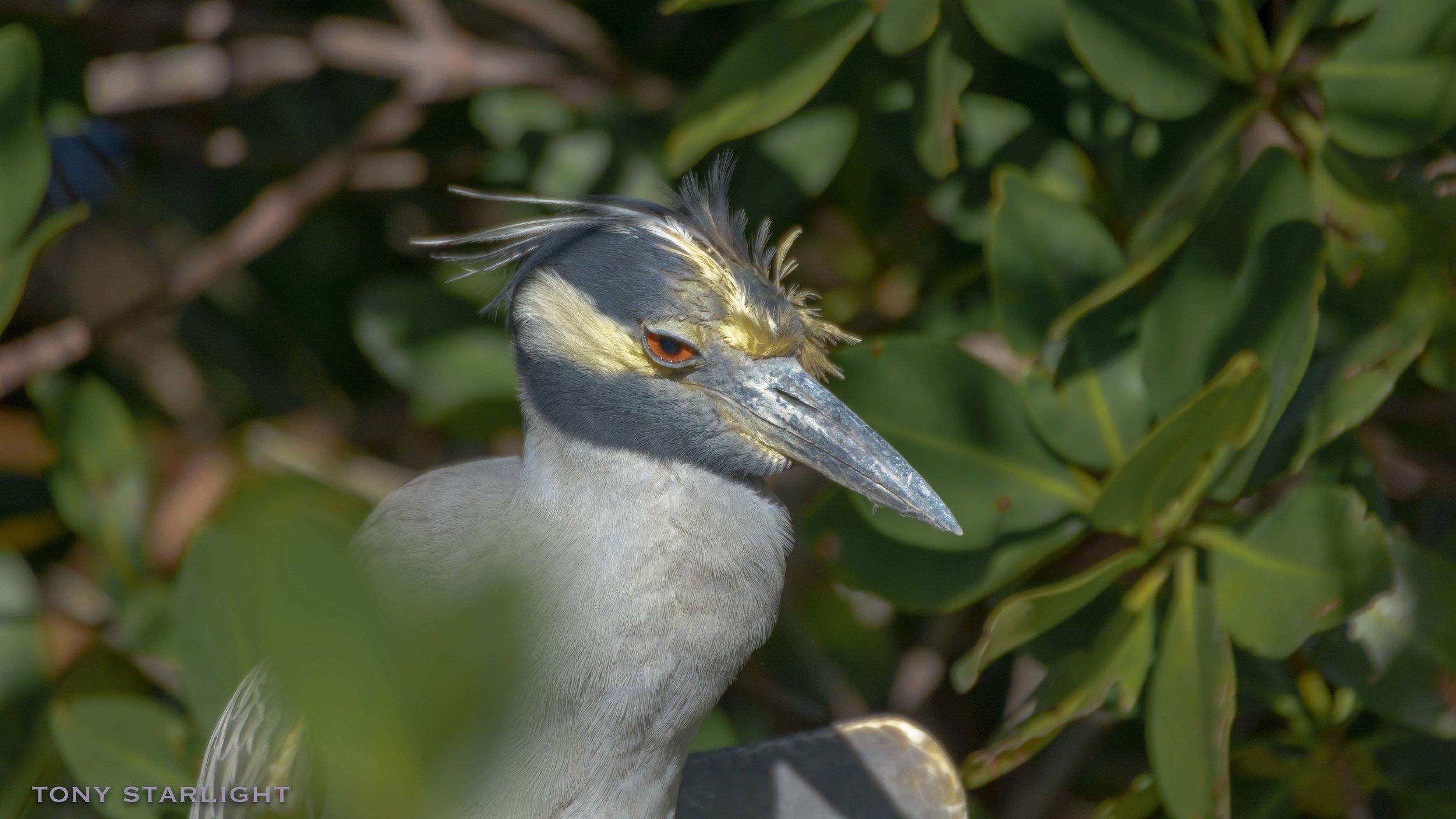 168) Yellow-crowned Night-Heron - February 1, 2017Sanibel Island, Florida
