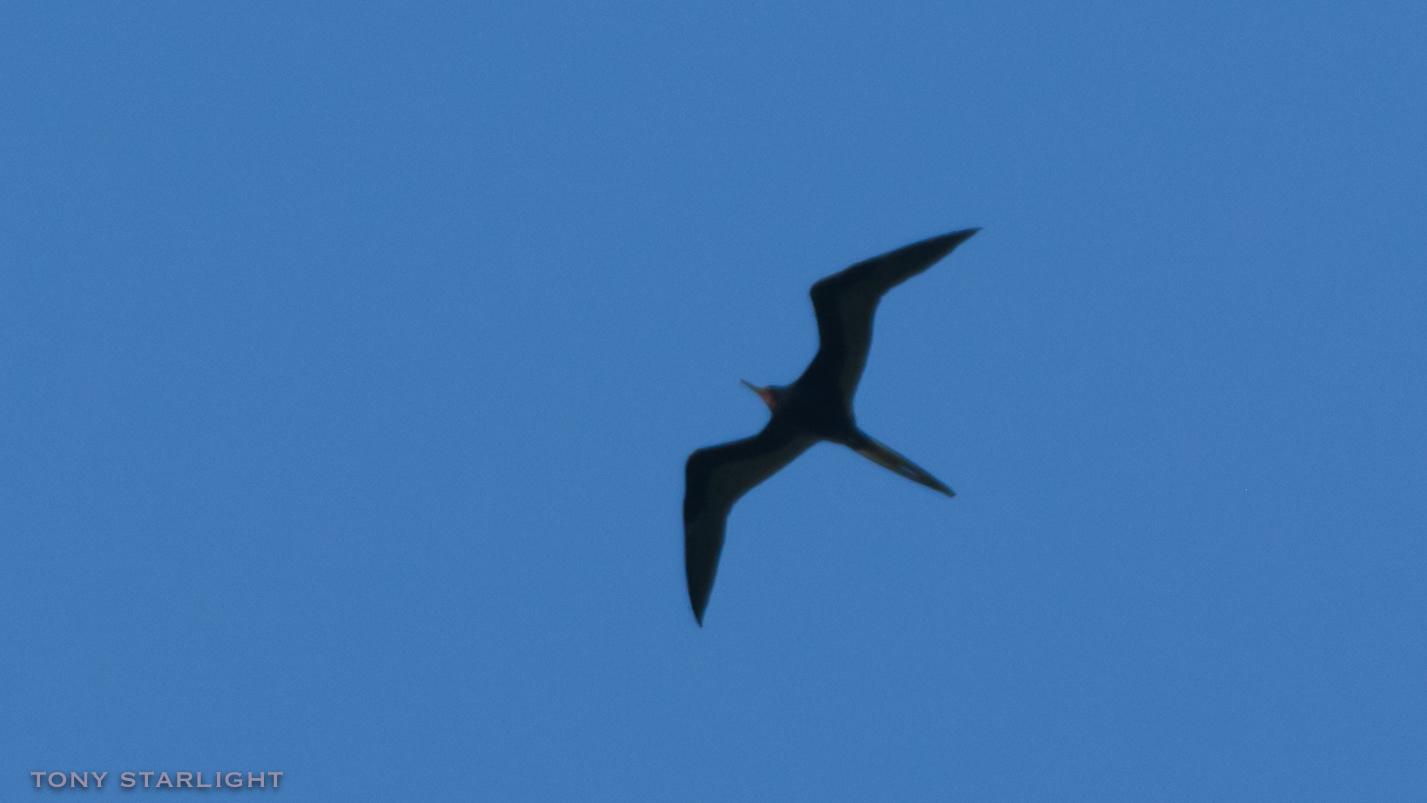 162) Magnificent Frigatebird - January 31, 2017St. Petersburg, Florida