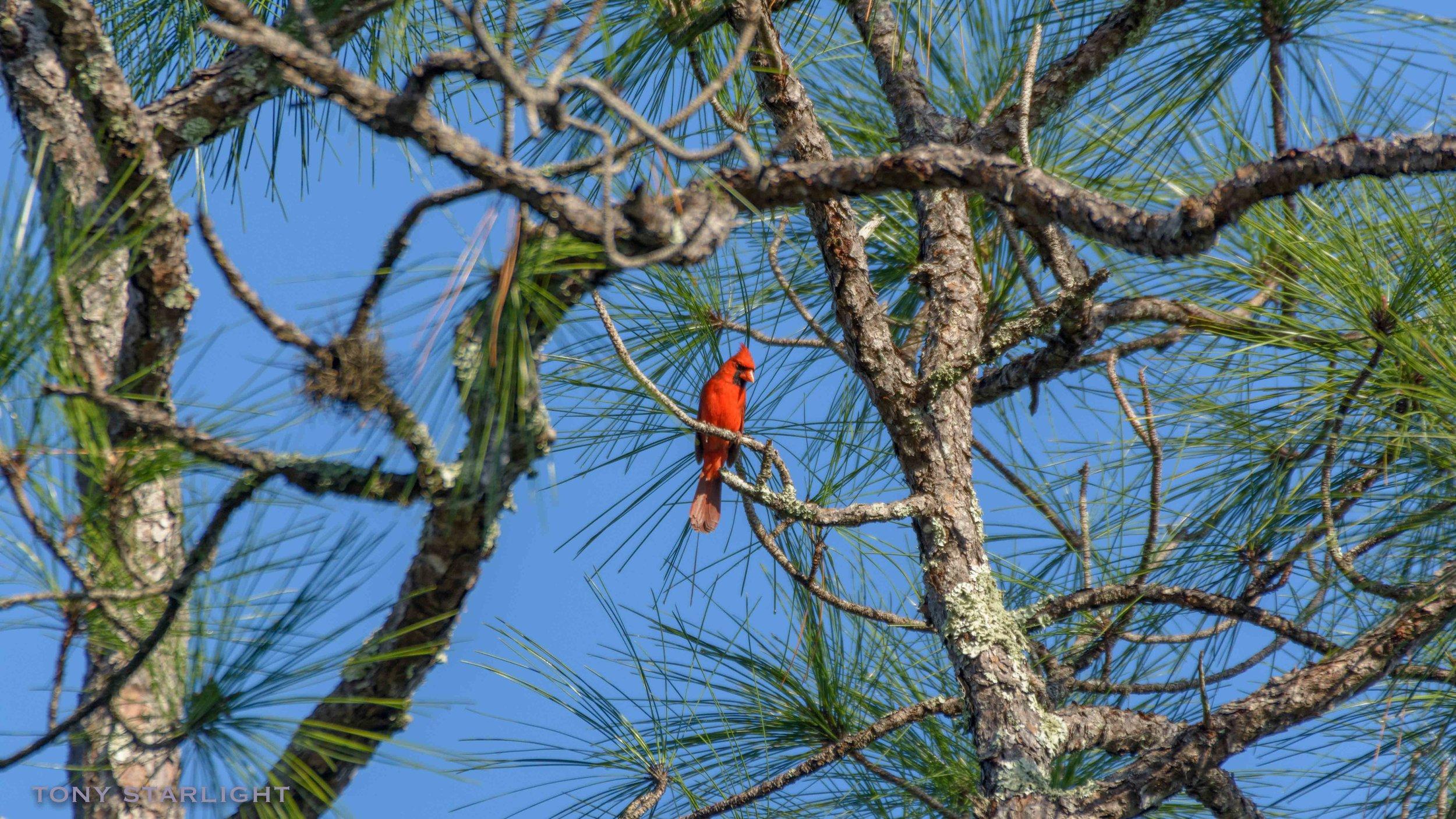 161) Northern Cardinal - January 30, 2017Fort De Soto, Florida
