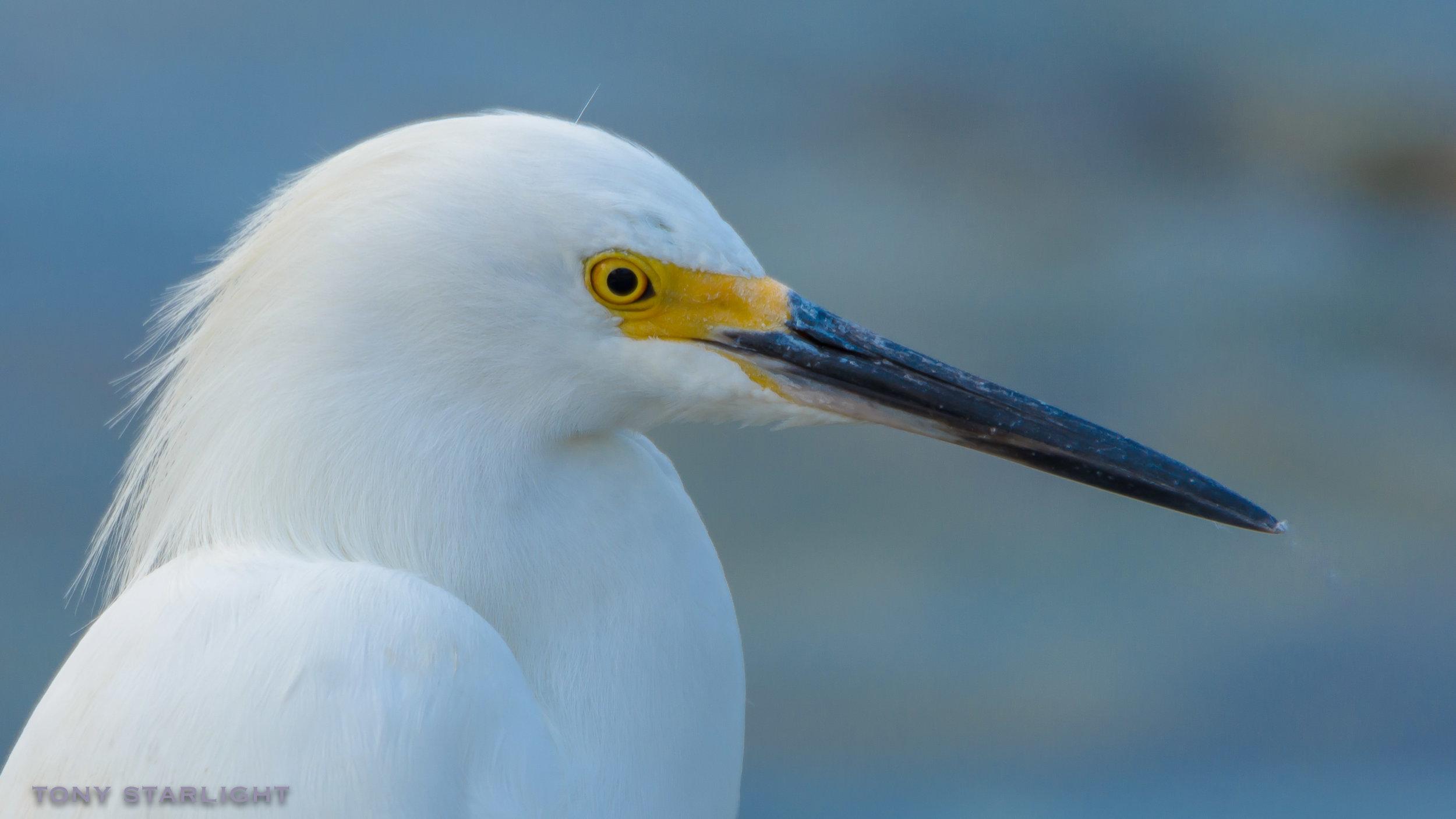 152) Snowy Egret - January 30, 2017Fort De Soto, Florida