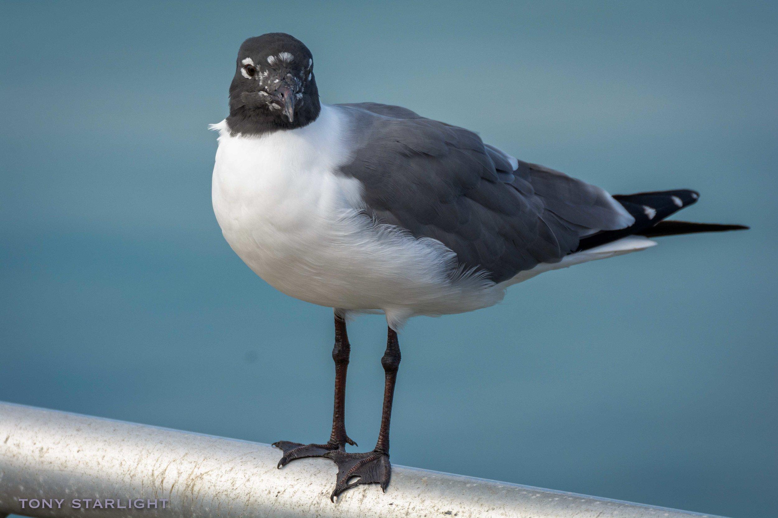 142) Laughing Gull - St. Pete Beach, Florida