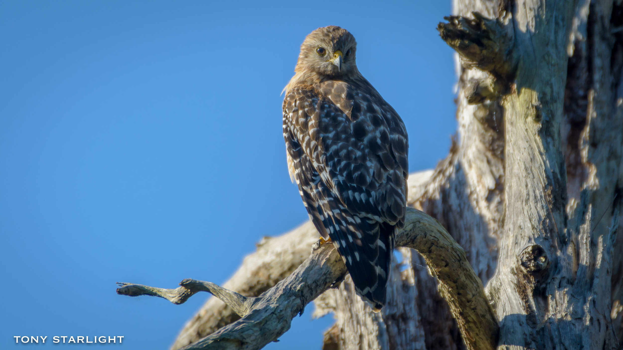 139) Red-shouldered Hawk - December 26, 2016Springfield, Oregon
