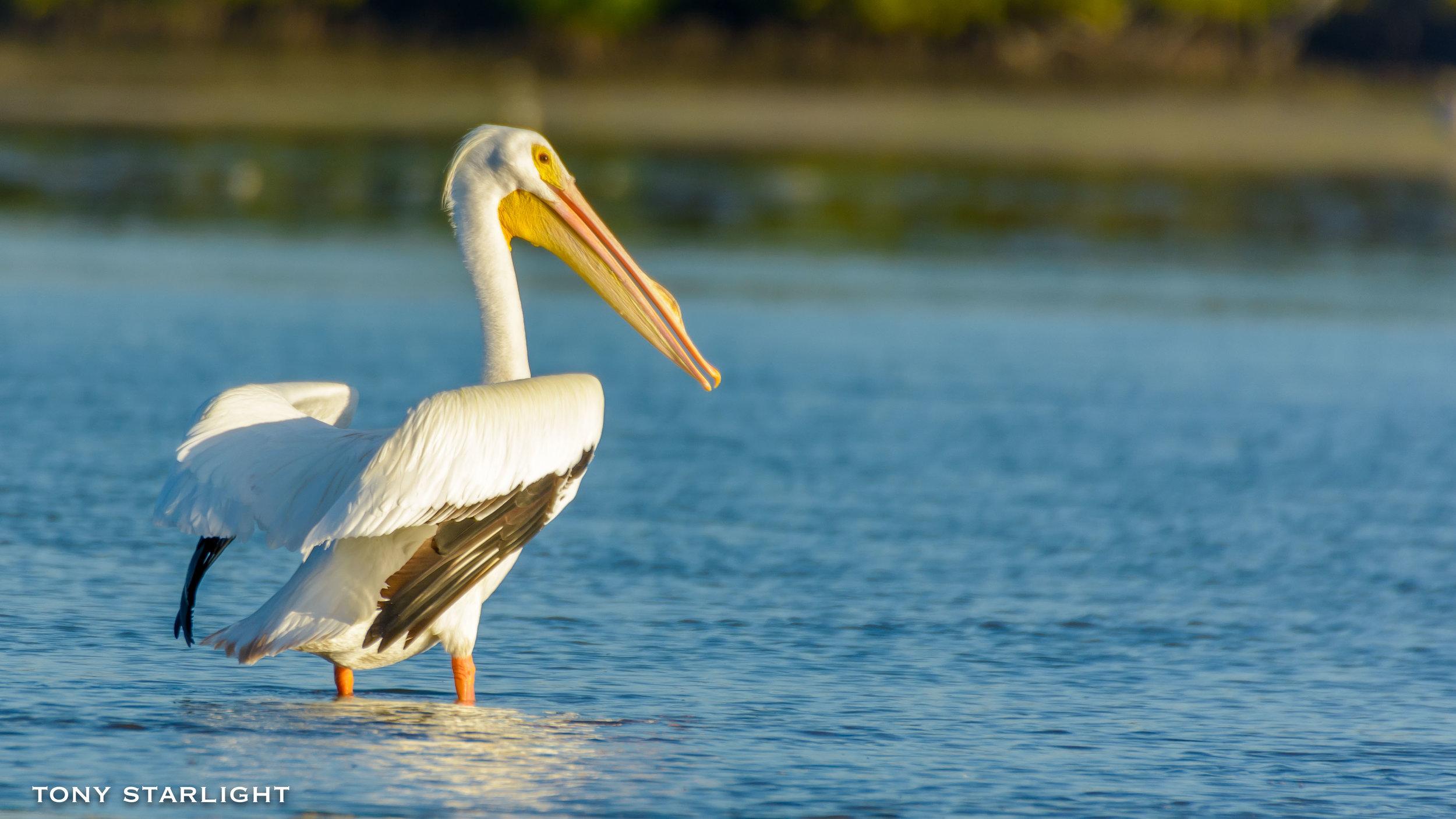 44) American White Pelican - May 30, 2016Sauvie Island, Oregon