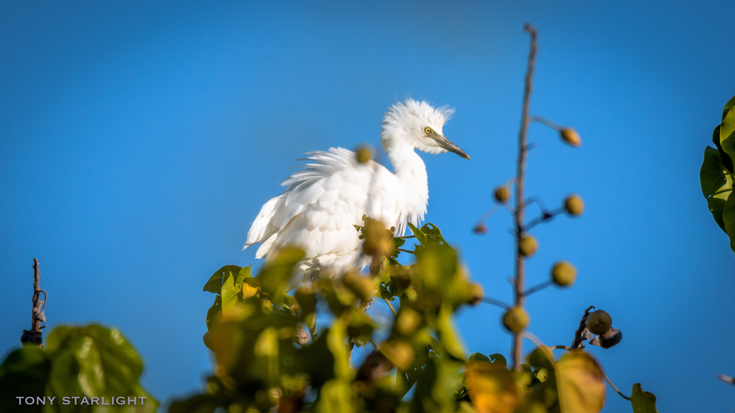 253) Cattle Egret - February 7, 2018Aimakapa Fish Pond, Big Island Hawaii