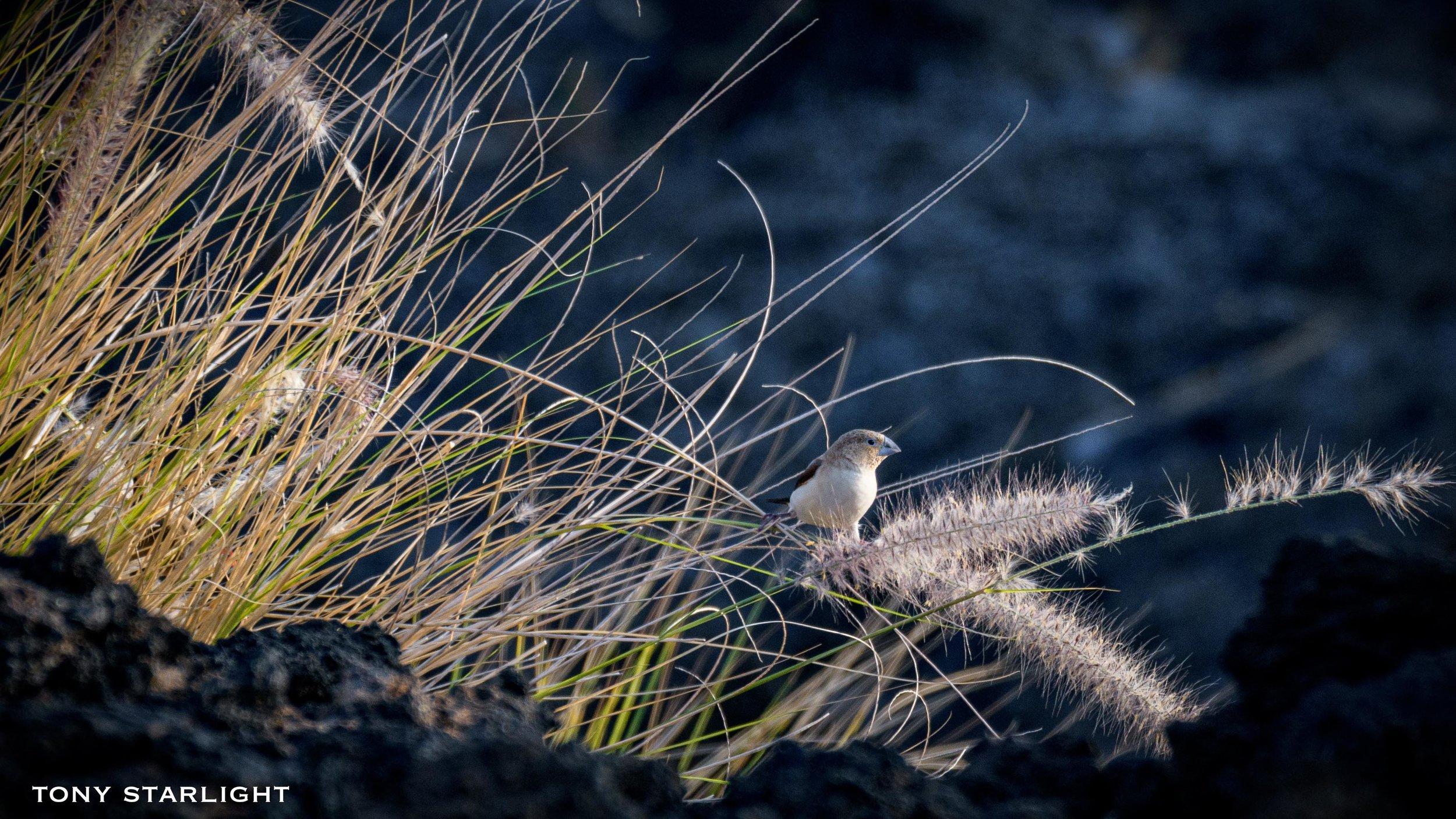 251) African Silverbill - February 6, 2018Waikoloa Beach, Big Island Hawaii