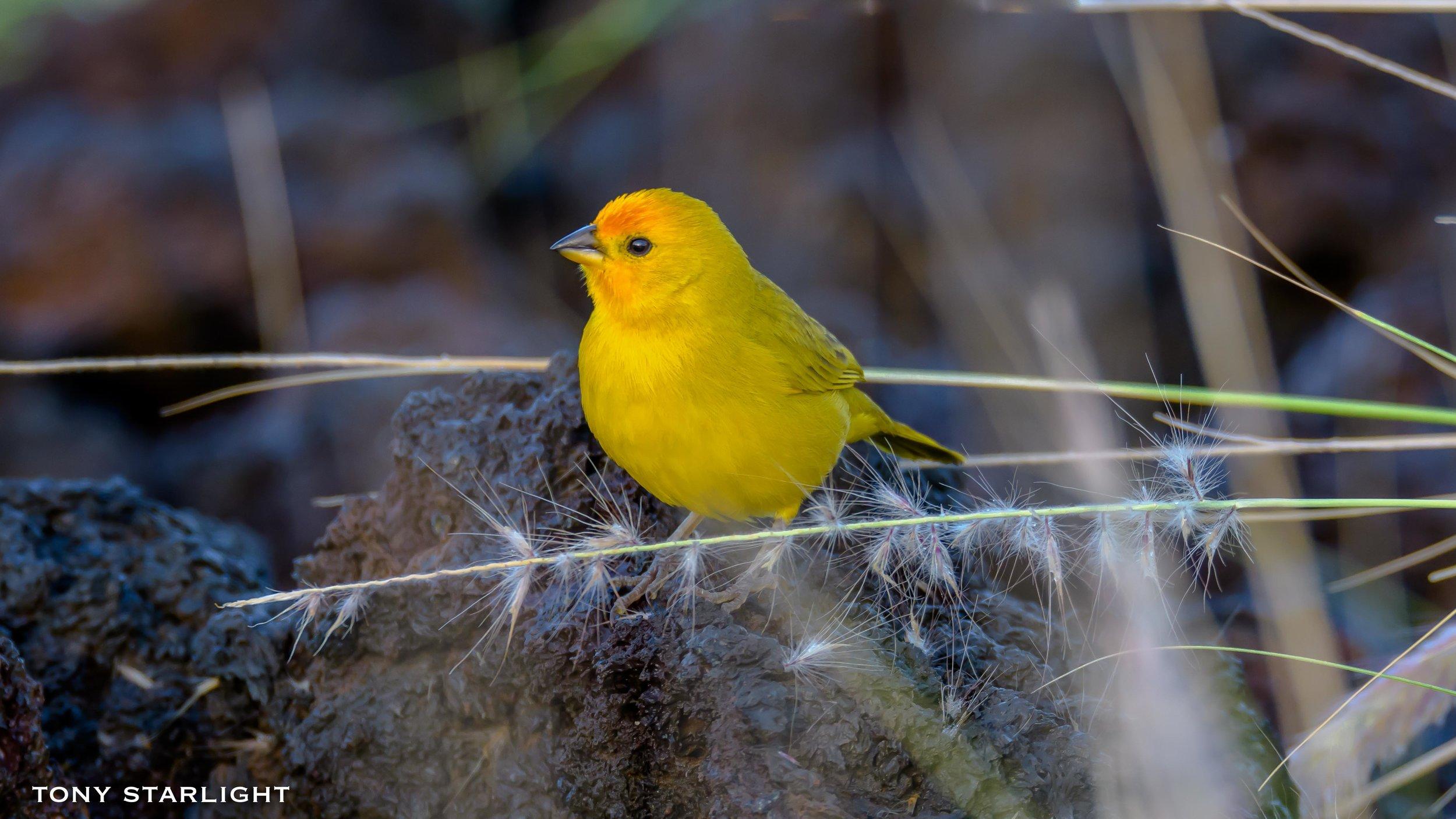 242) Saffron Finch - February 3, 2018Waikoloa Beach, Big Island Hawaii