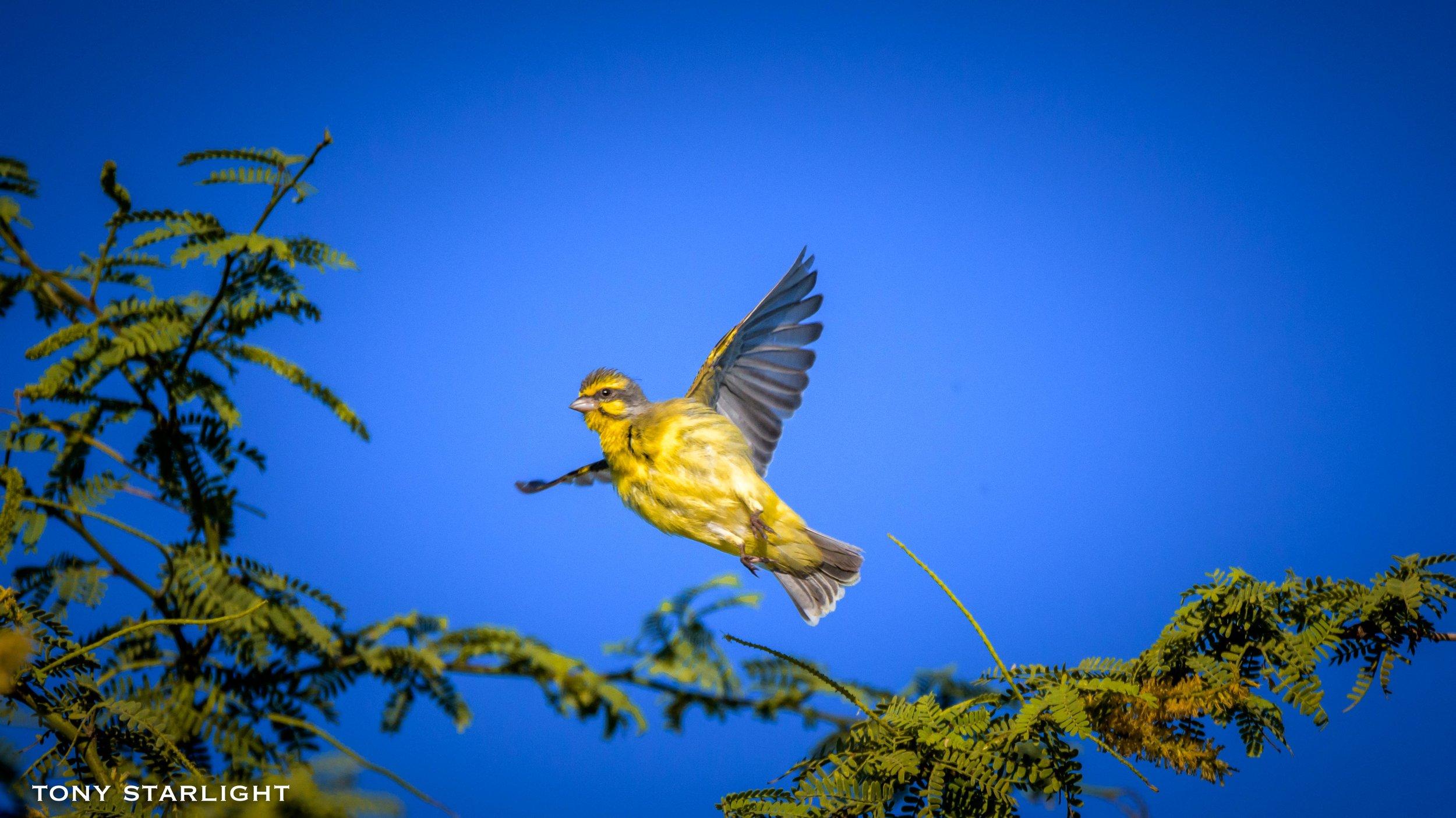 240) Yellow-fronted Canary - February 3, 2018Waikoloa Beach, Big Island Hawaii