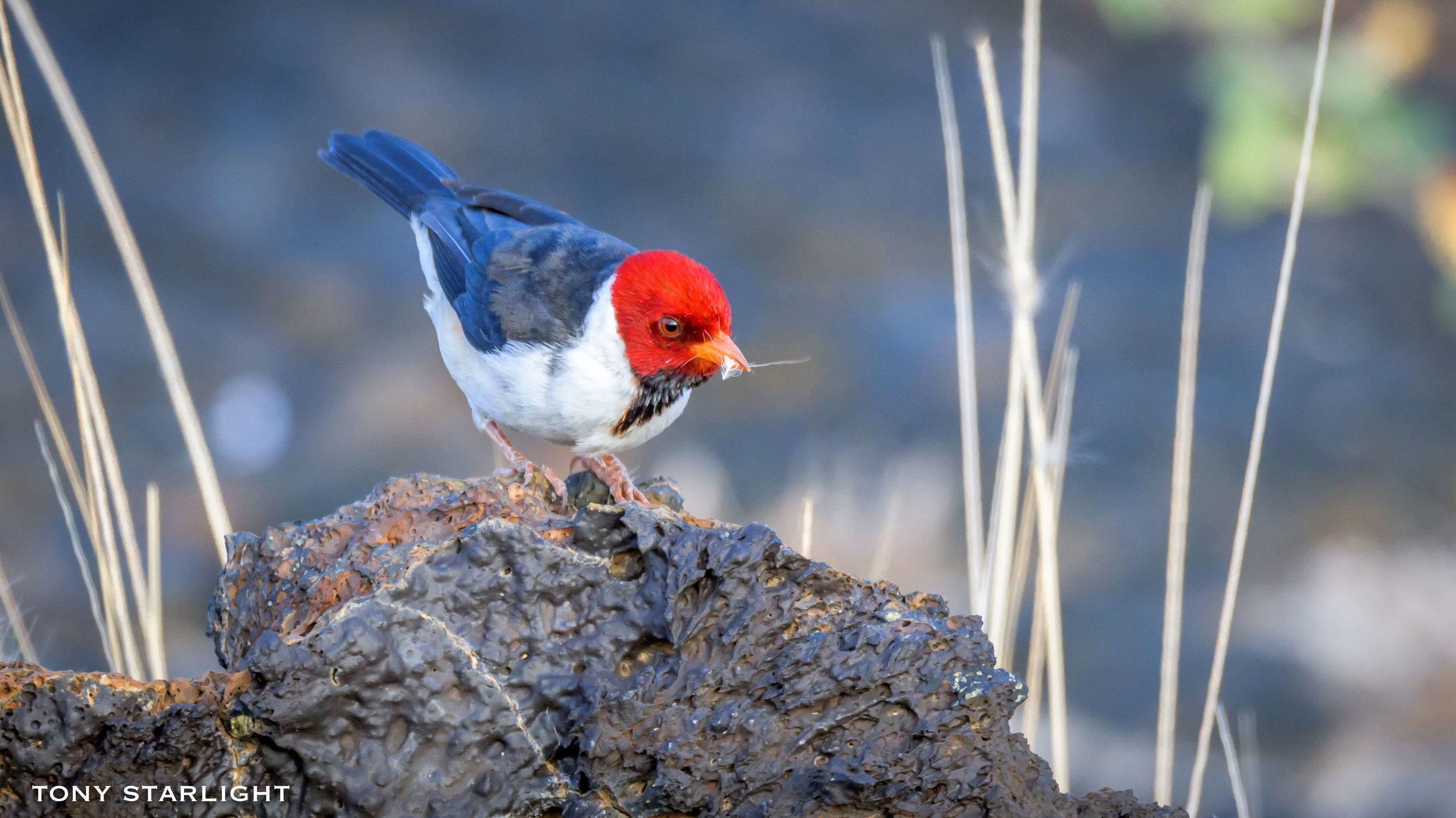 239) Yellow-billed Cardinal - February 3, 2018Waikoloa Beach, Big Island Hawaii