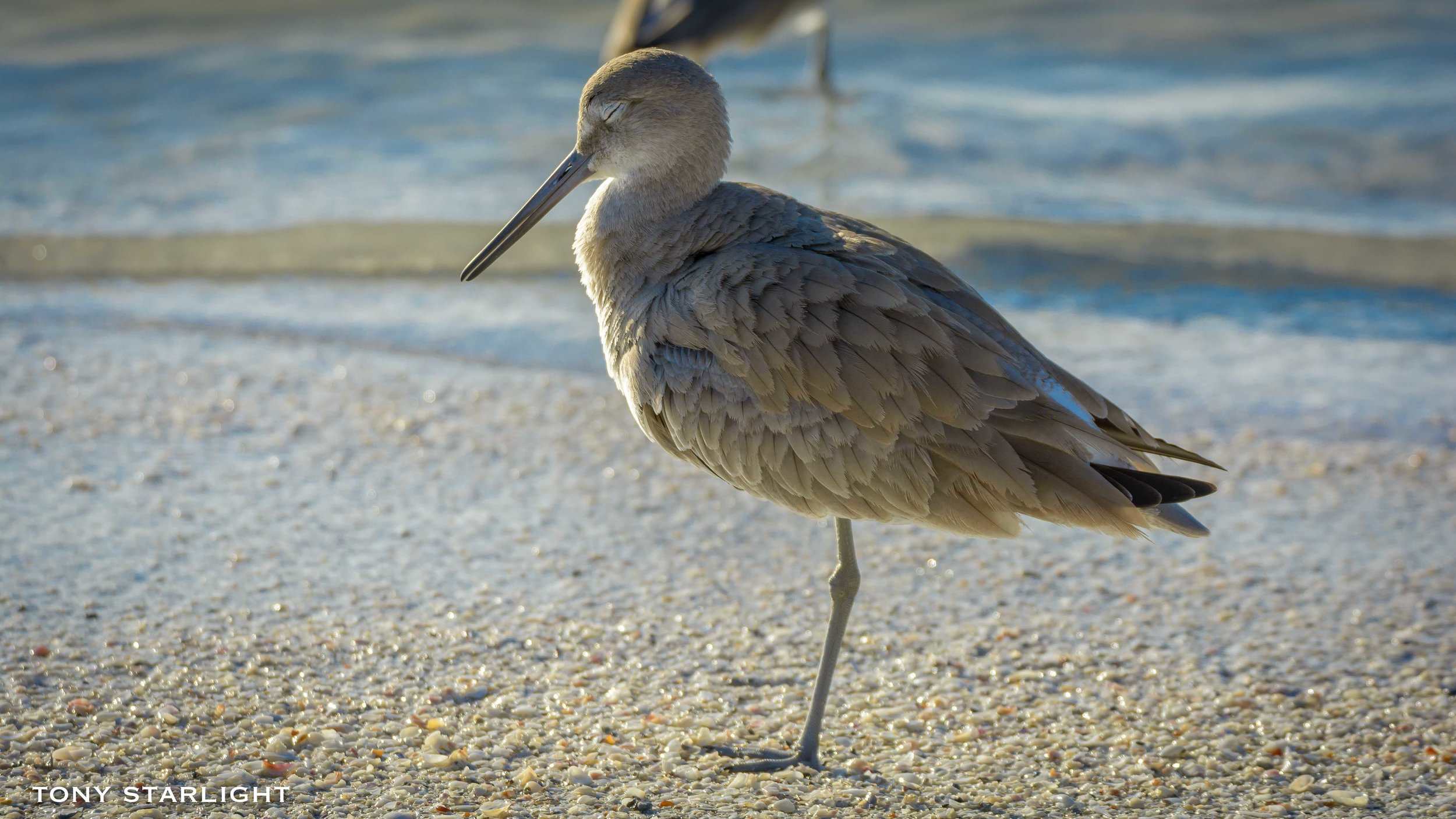 150) Willet - January 30, 2017St. Pete Beach, Florida