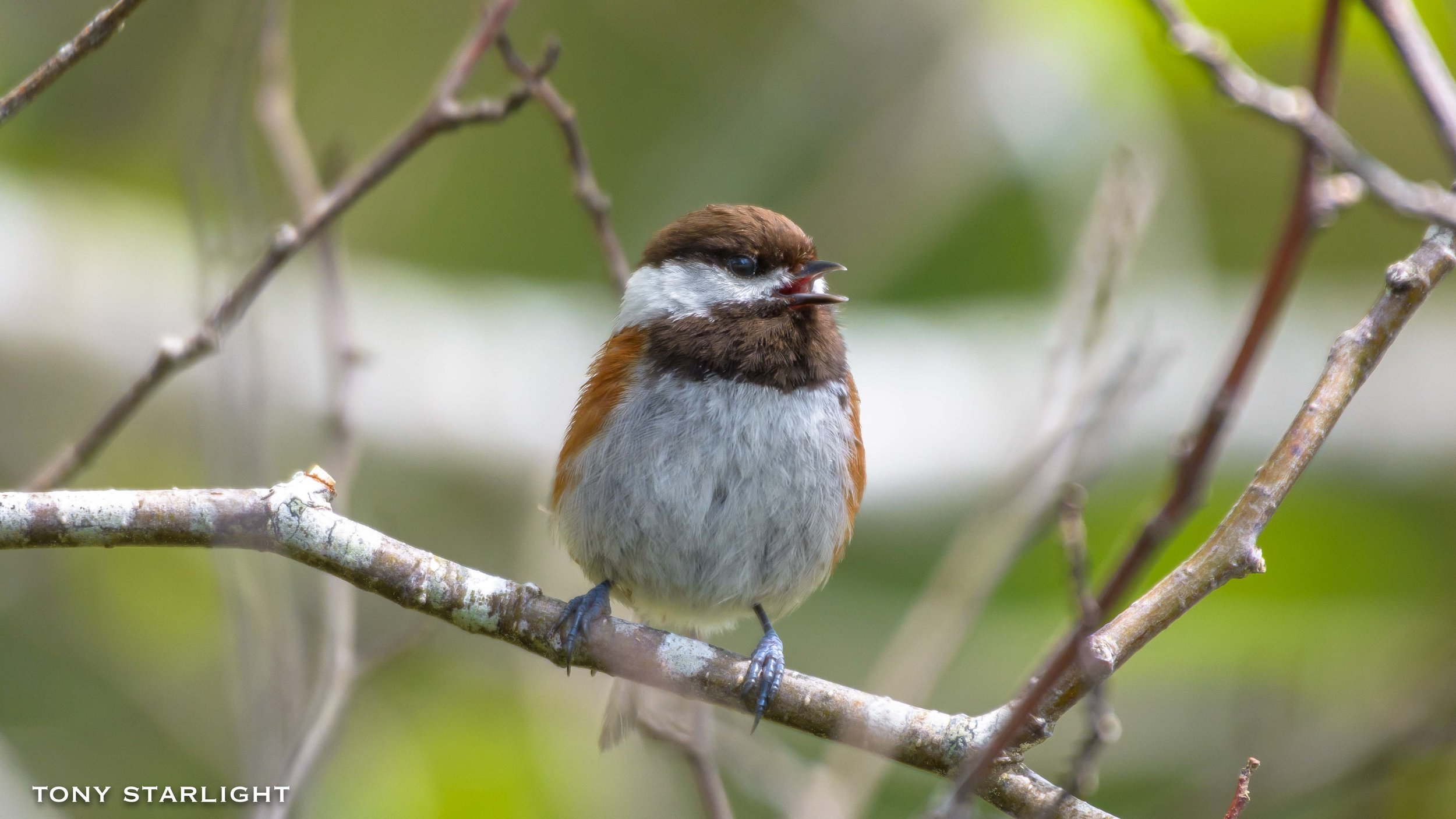 80) Chestnut-backed Chickadee - July 19, 2016Scappoose, Oregon