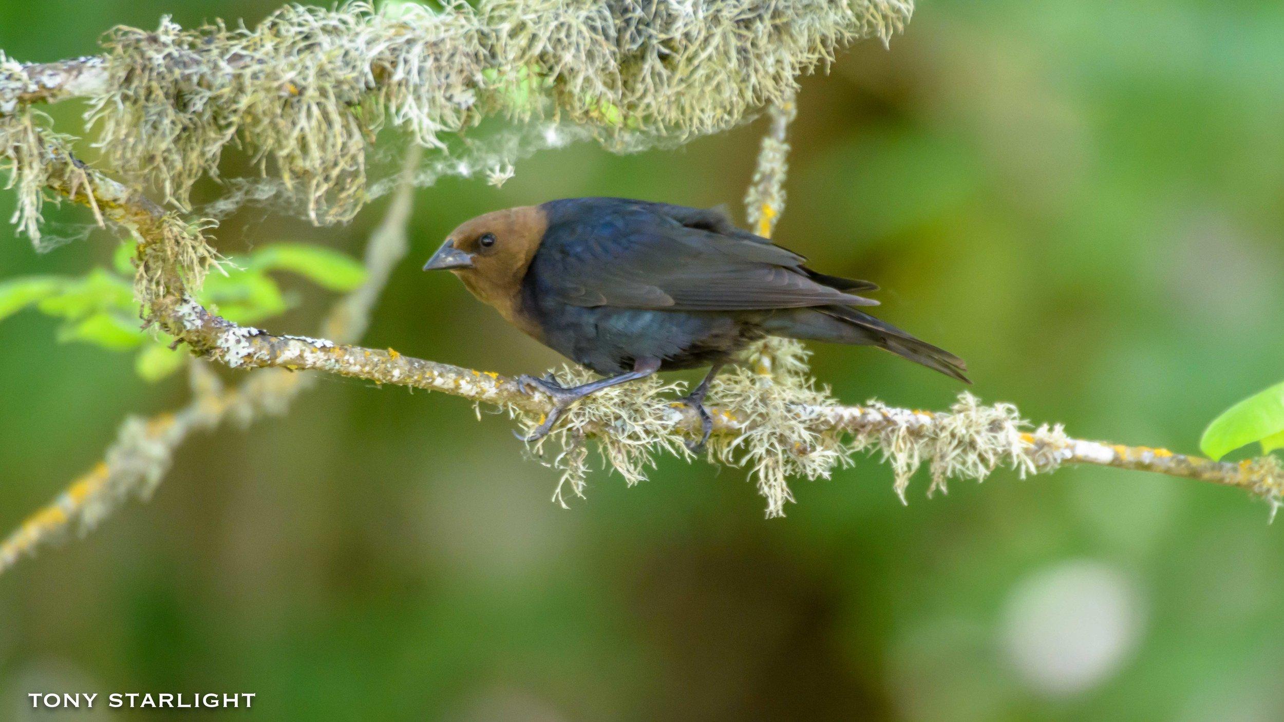 30) Brown-headed Cowbird - May 22, 2017Sauvie Island, Oregon