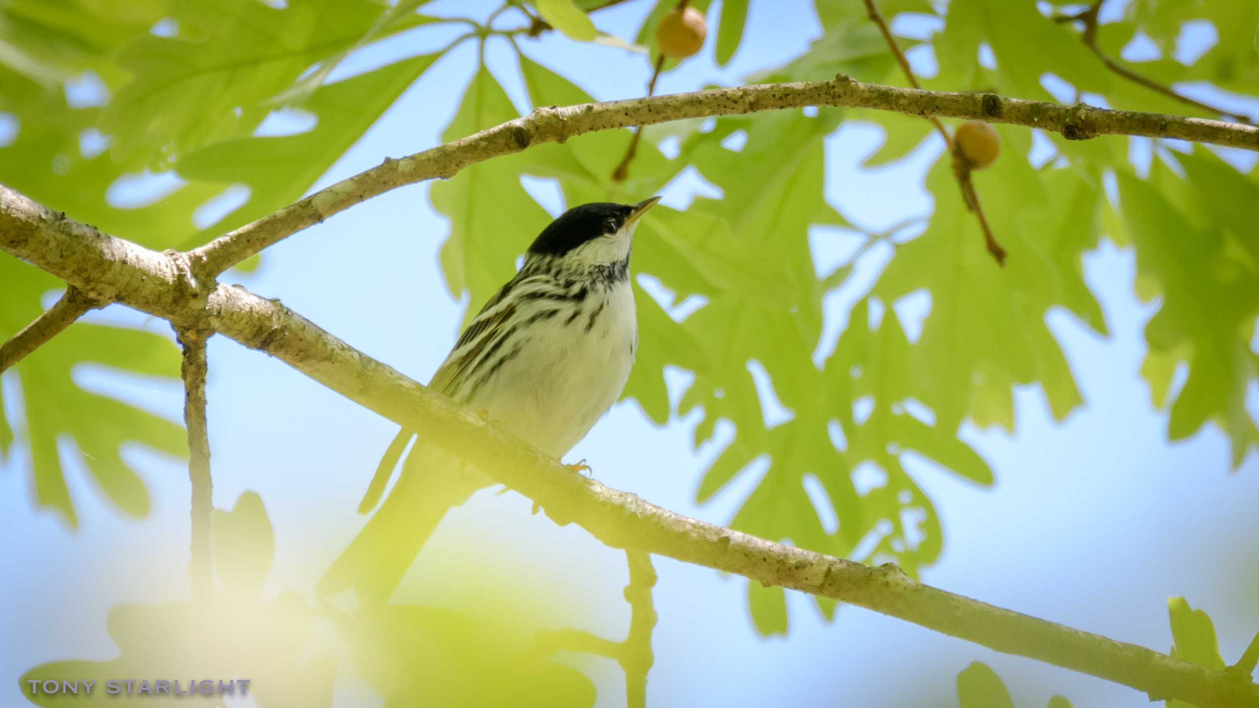 276) Blackpoll Warbler - April 26, 2018Rome, Georgia