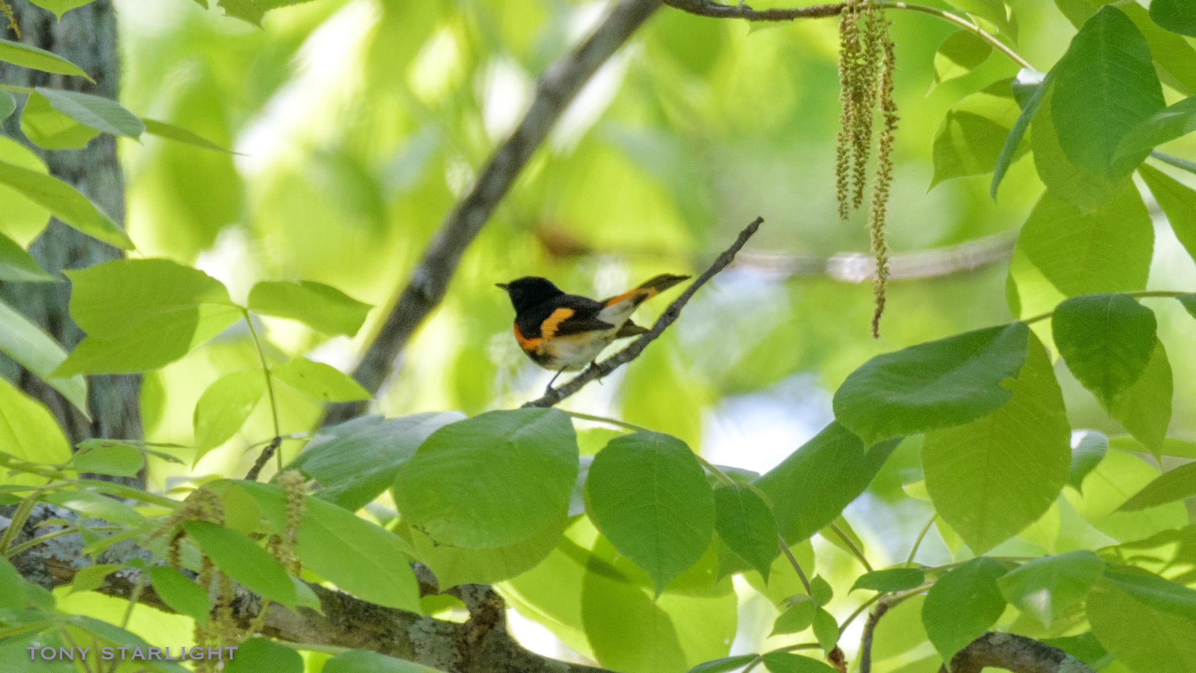 278) American Redstart - April 26, 2018Rome, Georgia