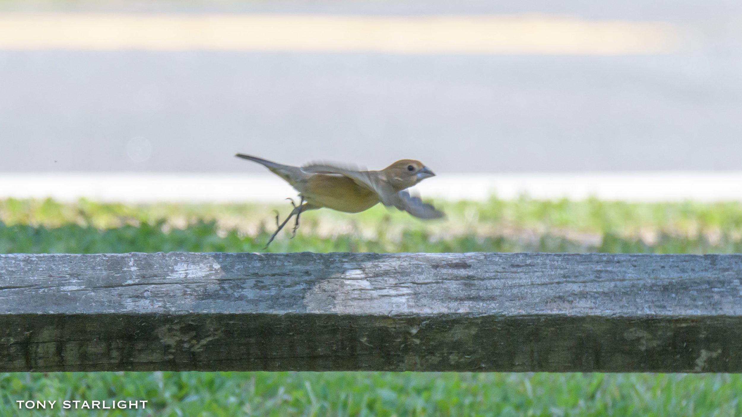 282) Blue Grosbeak (female) - May 1, 2018Durham, North Carolina