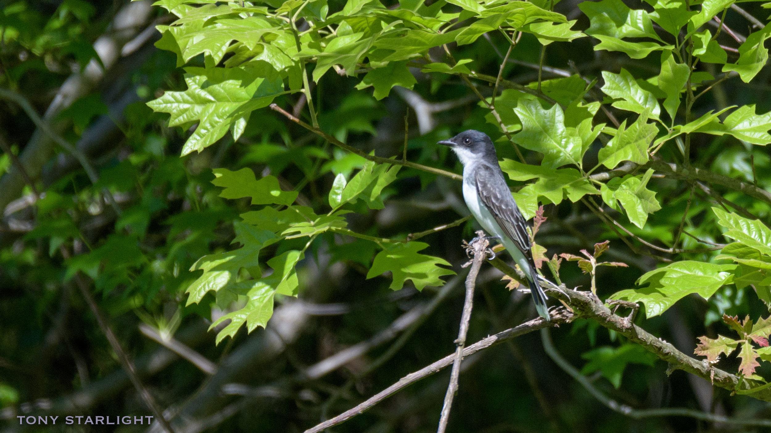 283) Eastern Kingbird - May 1, 2018Durham, North Carolina