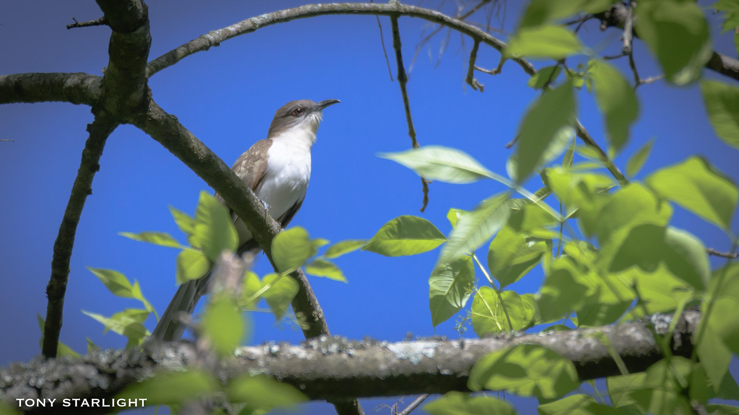 284) Black-billed Cuckoo - May 1, 2018Durham, North Carolina
