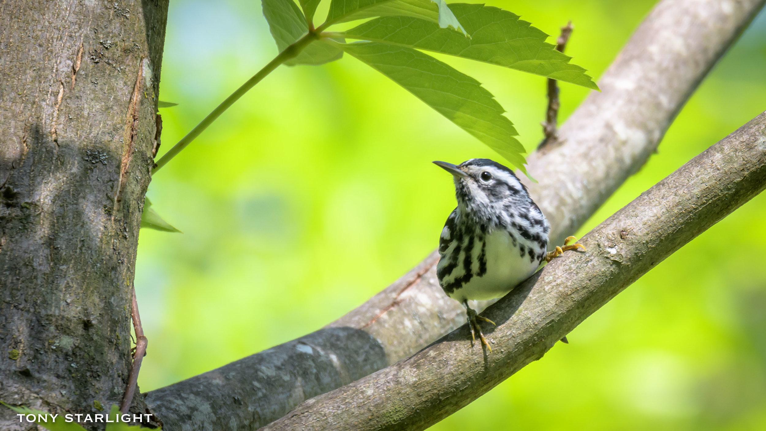 285) Black-and-white Warbler - May 2, 2018Durham, North Carolina