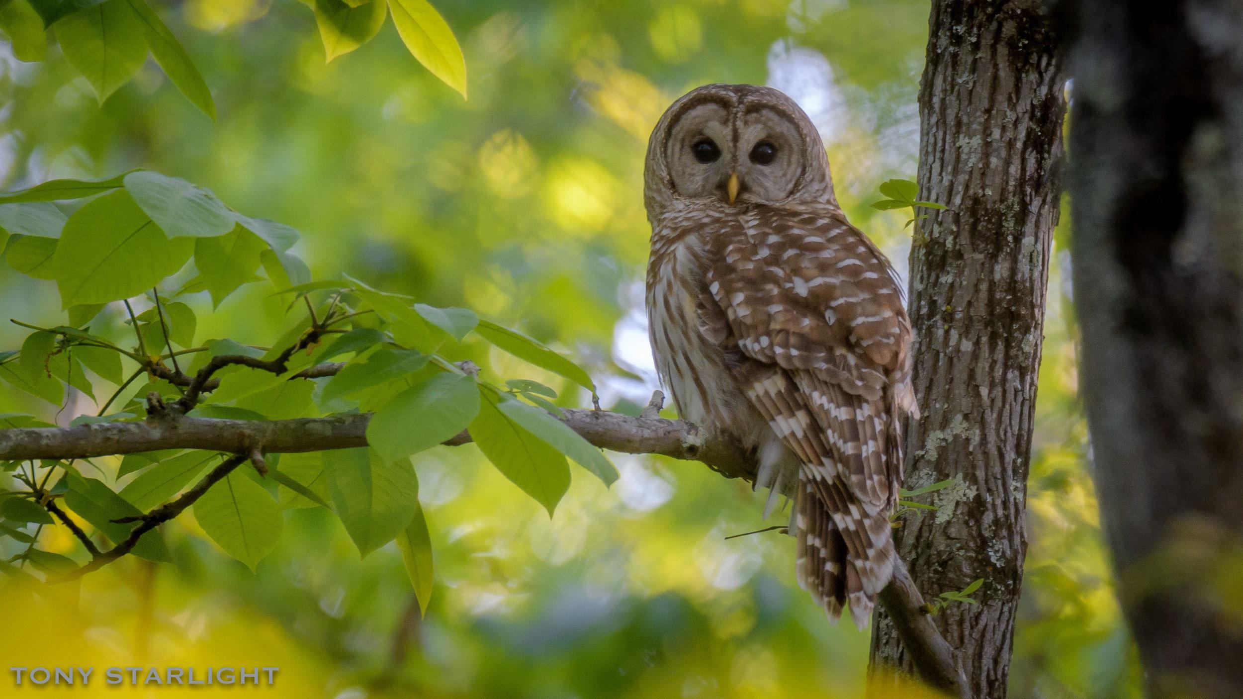 204) Barred Owl - April 4, 2017Rome, Georgia