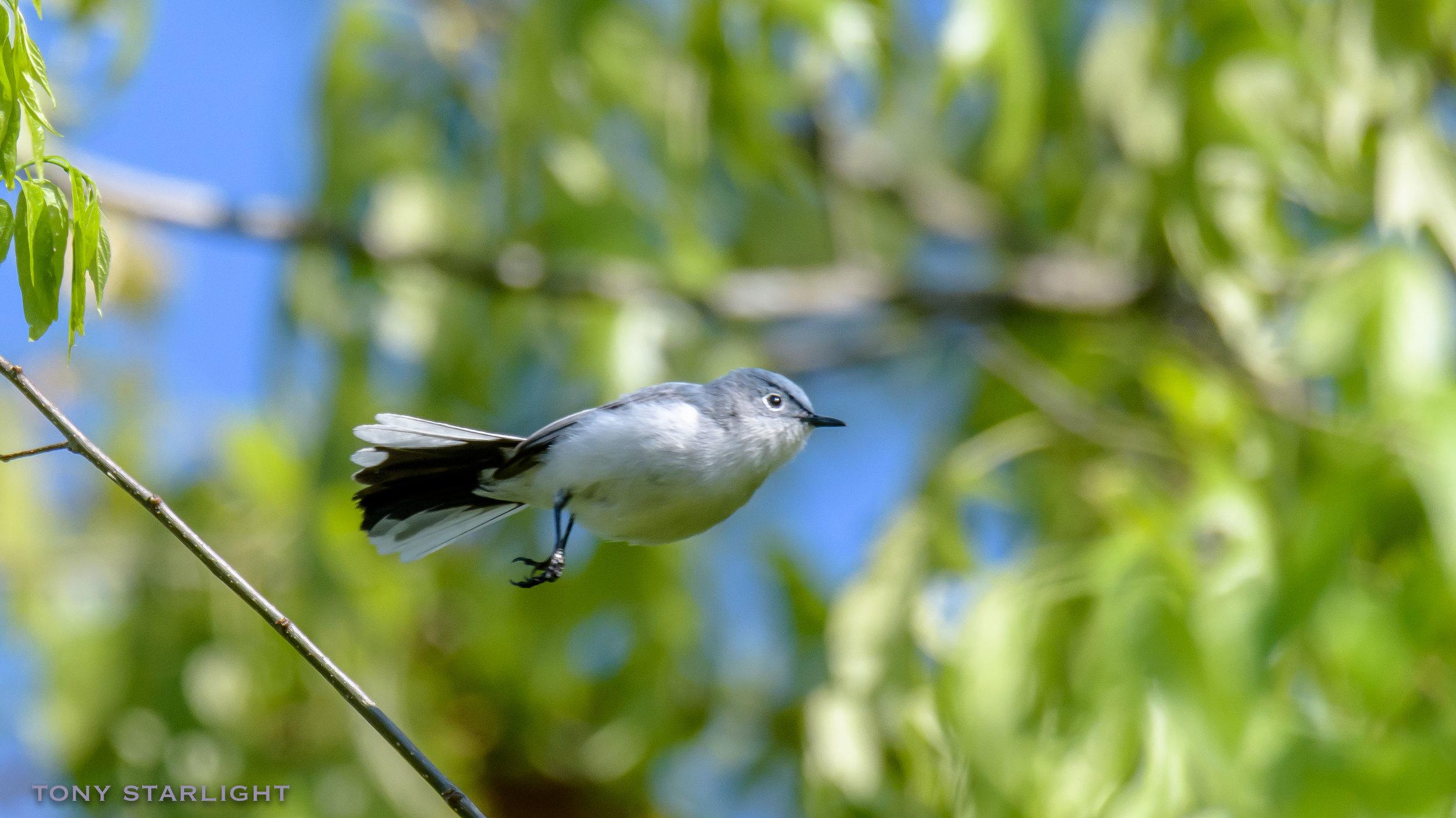 178) Blue-gray Gnatcatcher - February 2, 2017Corkscrew Swamp, Florida