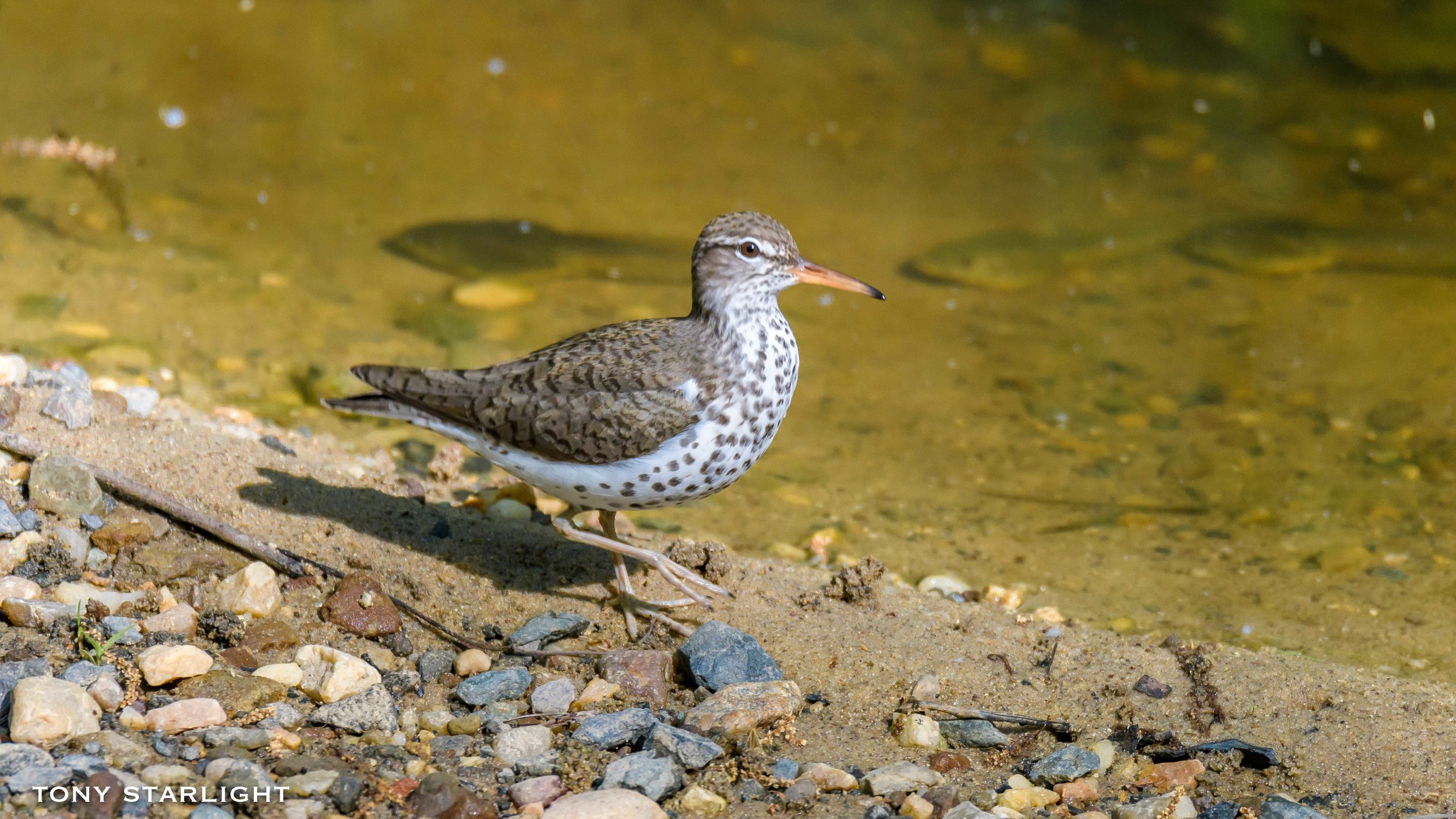 39) Spotted Sandpiper - May 26, 2016Scappoose, Oregon