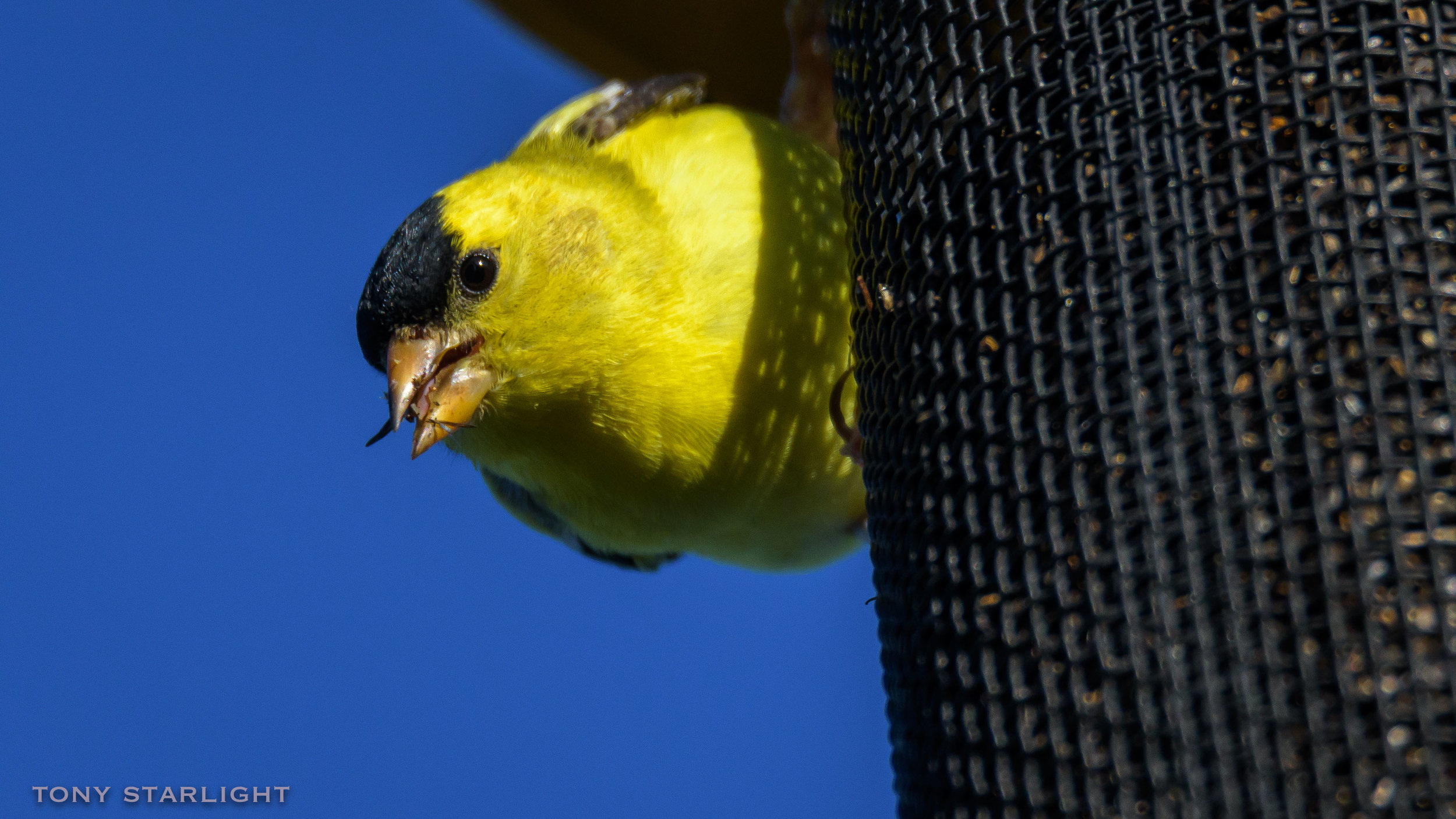 36) American Goldfinch - May 26, 2016Scappoose, Oregon