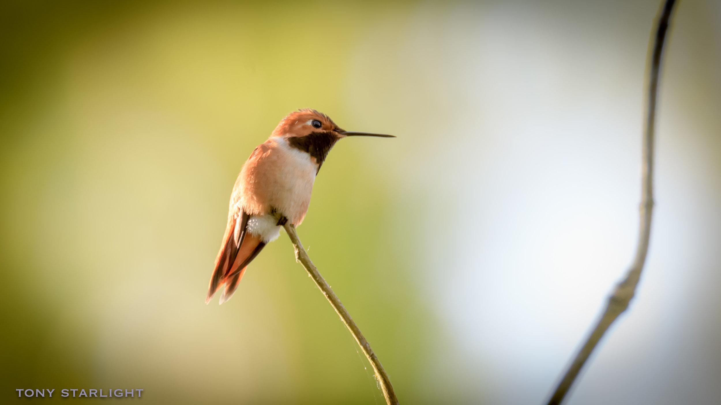 53) Rufous Hummingbird - June 13, 2017Scappoose, Oregon