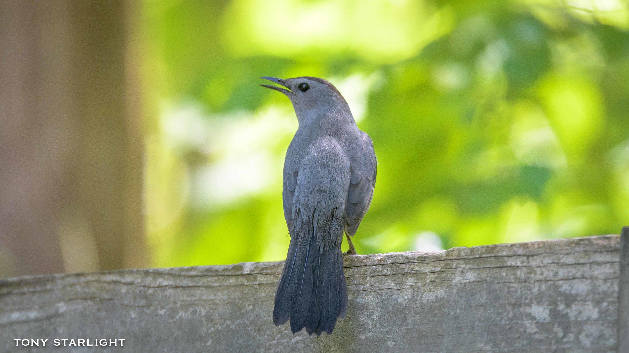84) Gray Catbird - August 3, 2016Lewiston, Idaho