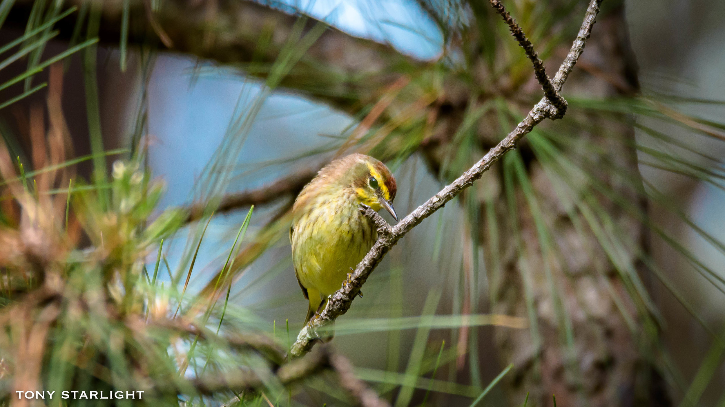 145) Palm Warbler - January 29, 2017St. Pete Beach, Florida