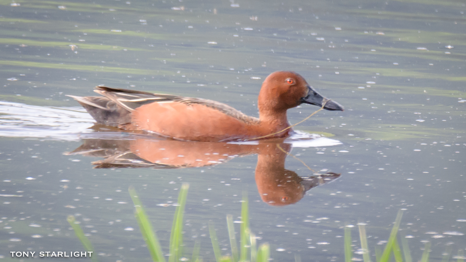 288) Cinnamon Teal - May 7, 2018Scappoose, Oregon