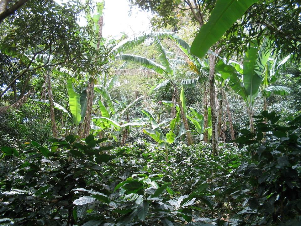 plantacion cafe.jpg