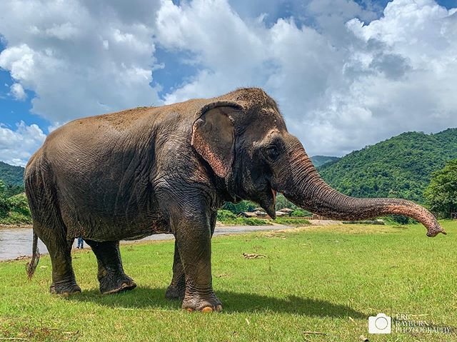 Northern Thailand affords the opportunity to see some amazing creatures, including super cool Asian Elephants. Elephant Nature Park does fantastic work with rescue and rehab for those that have been abused and injured.  #elephant #thailand #alltheshots . . . #rescue #asianelephant #river #elephants #savetheelephants #pachyderm #chiangmai #thailandinsider @elephantnaturepark @thailandinsider @humanesociety @natgeo @natgeotravel @lonelyplanet