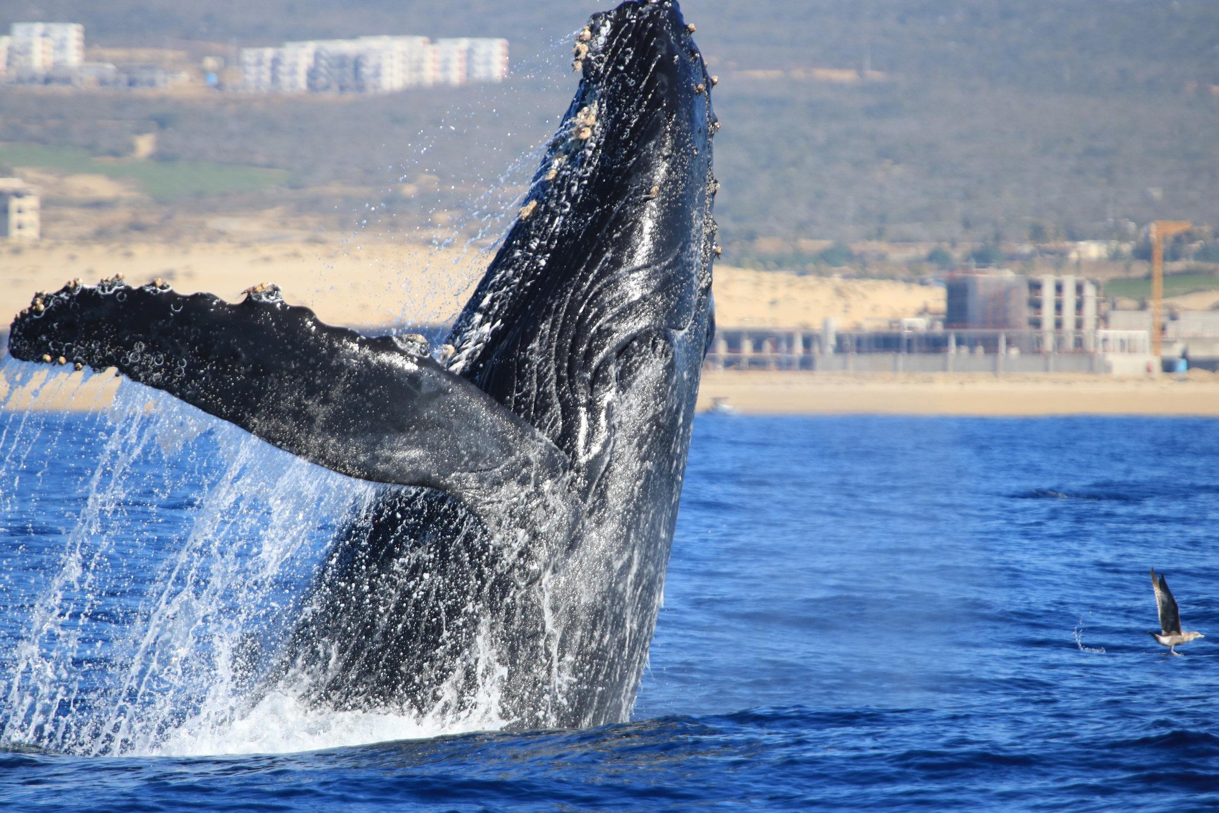 Experiencia de avistamiento de ballenas con Cabo Adventures.