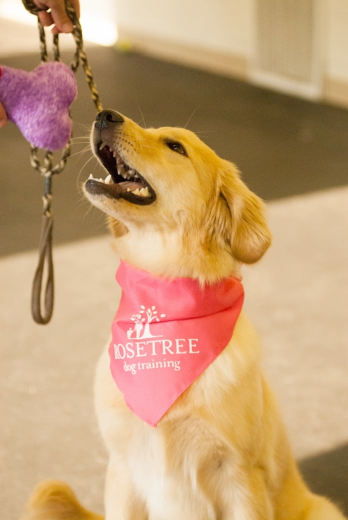 lexington puppy training package