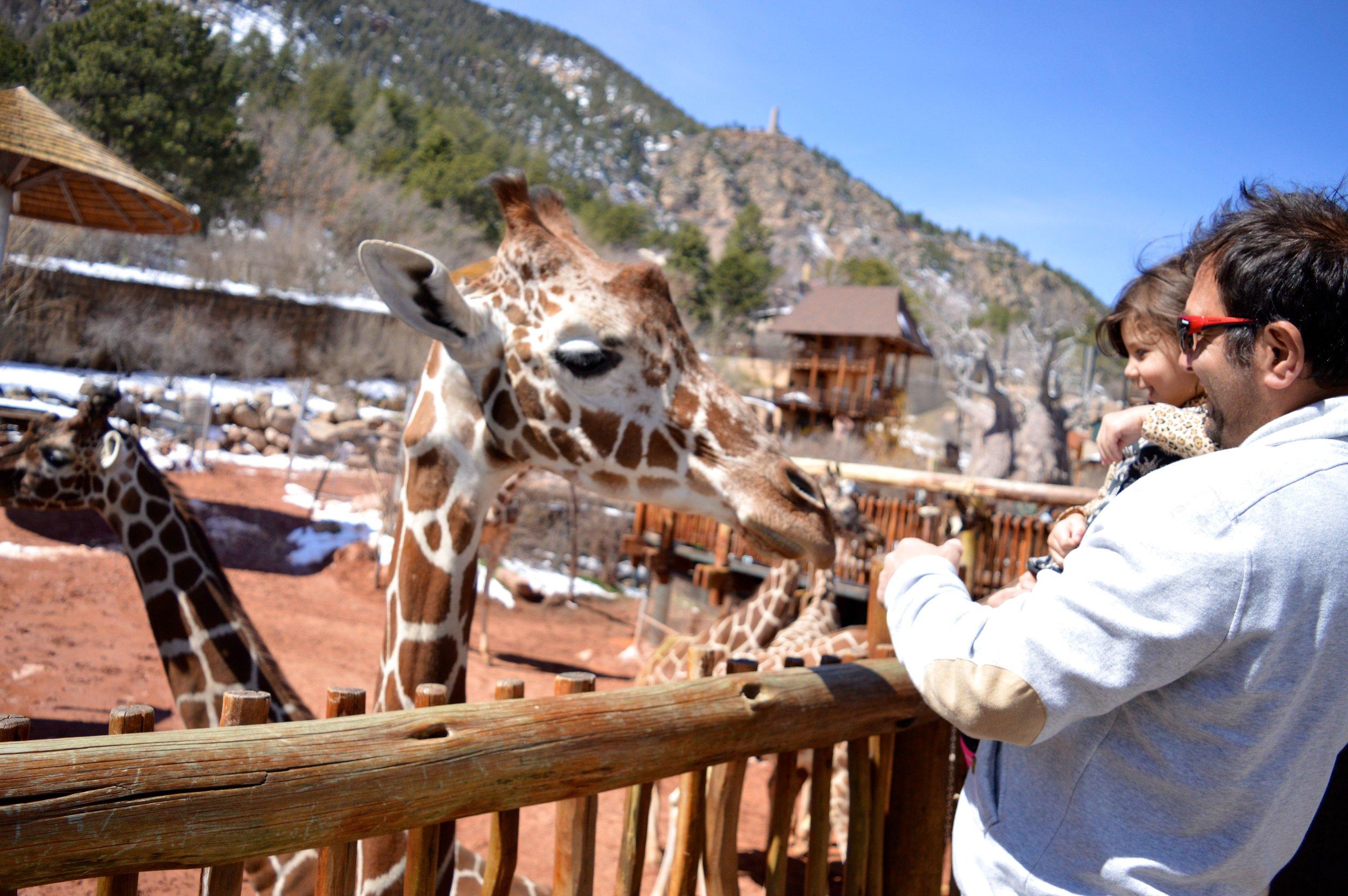 cheyenne-mountain-zoo-giraffe-4.jpg