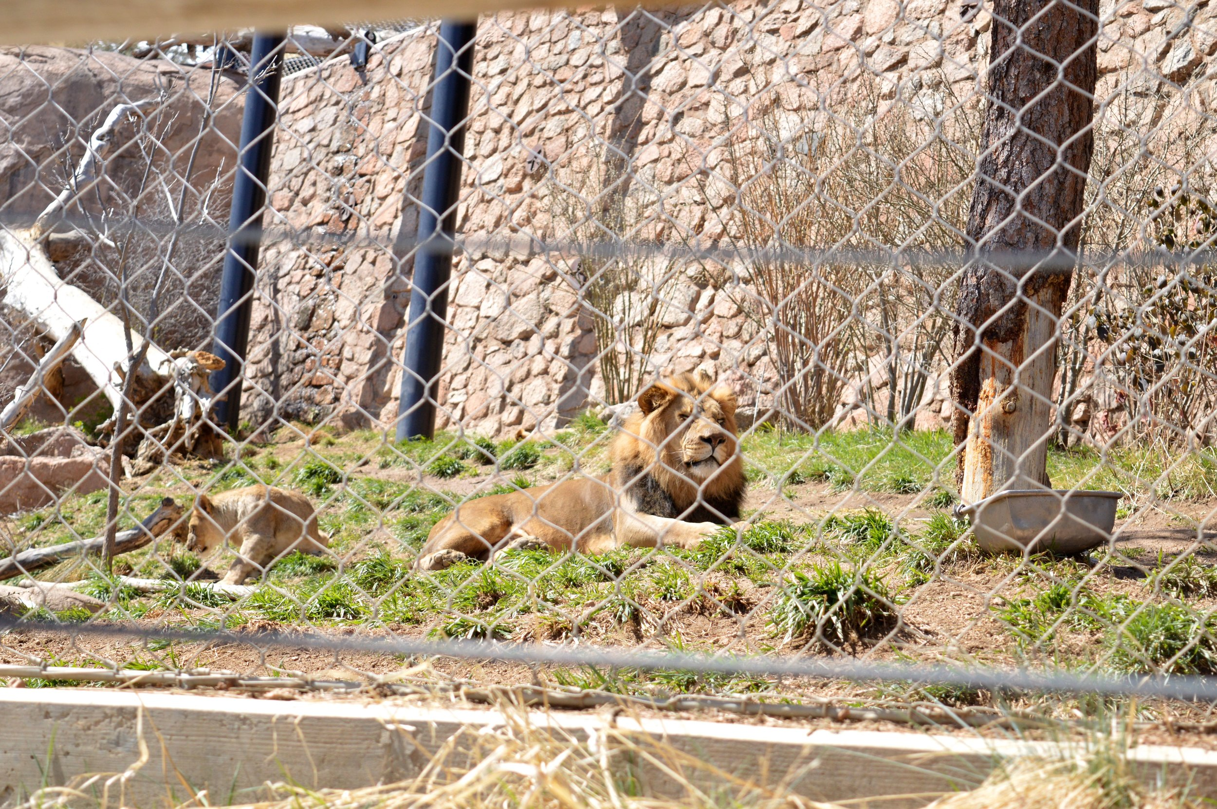 cheyenne-mountain-zoo-lion.jpg