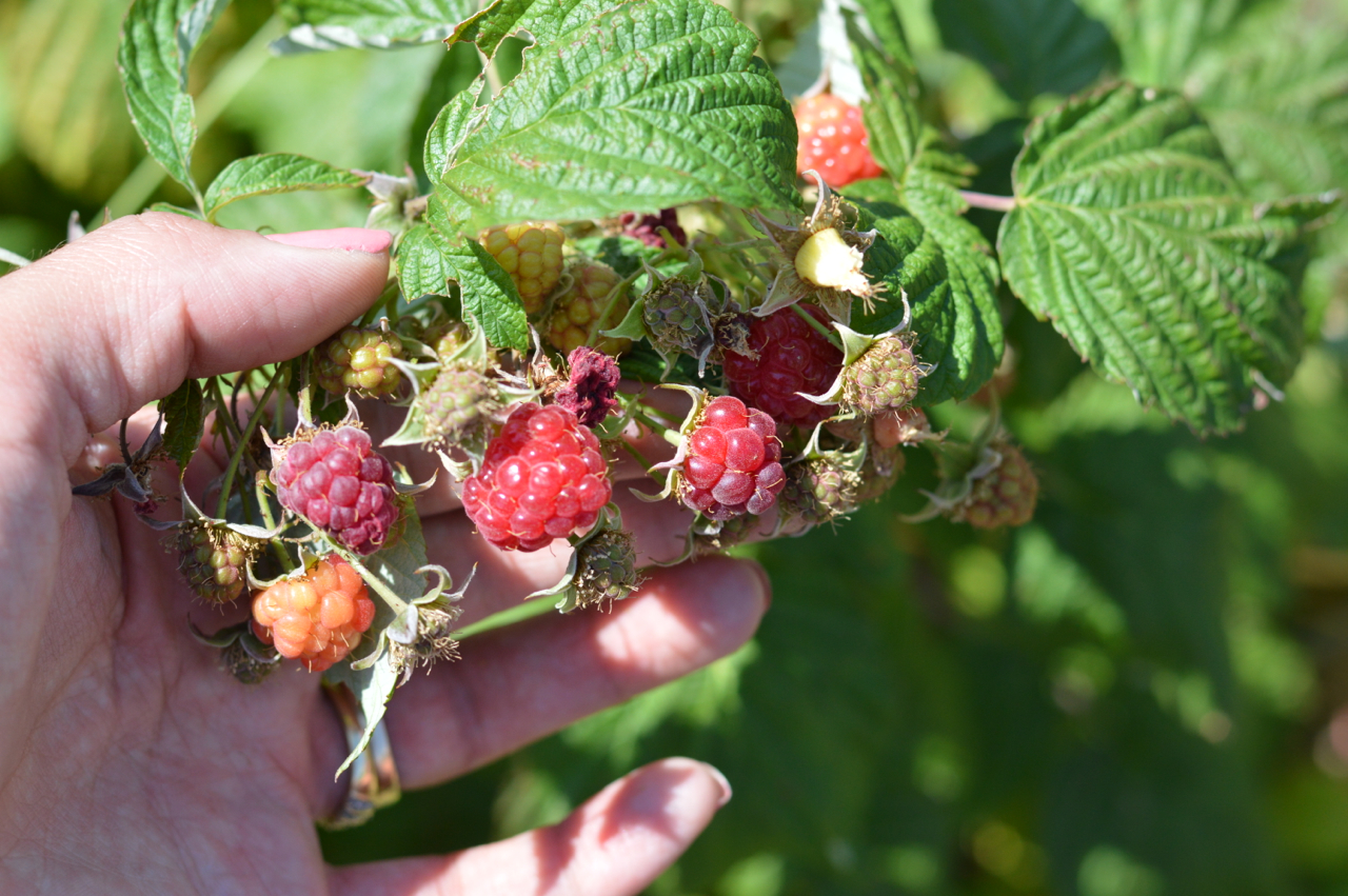 Fruit-Picking-at-Delicious-Orchards-16.jpg