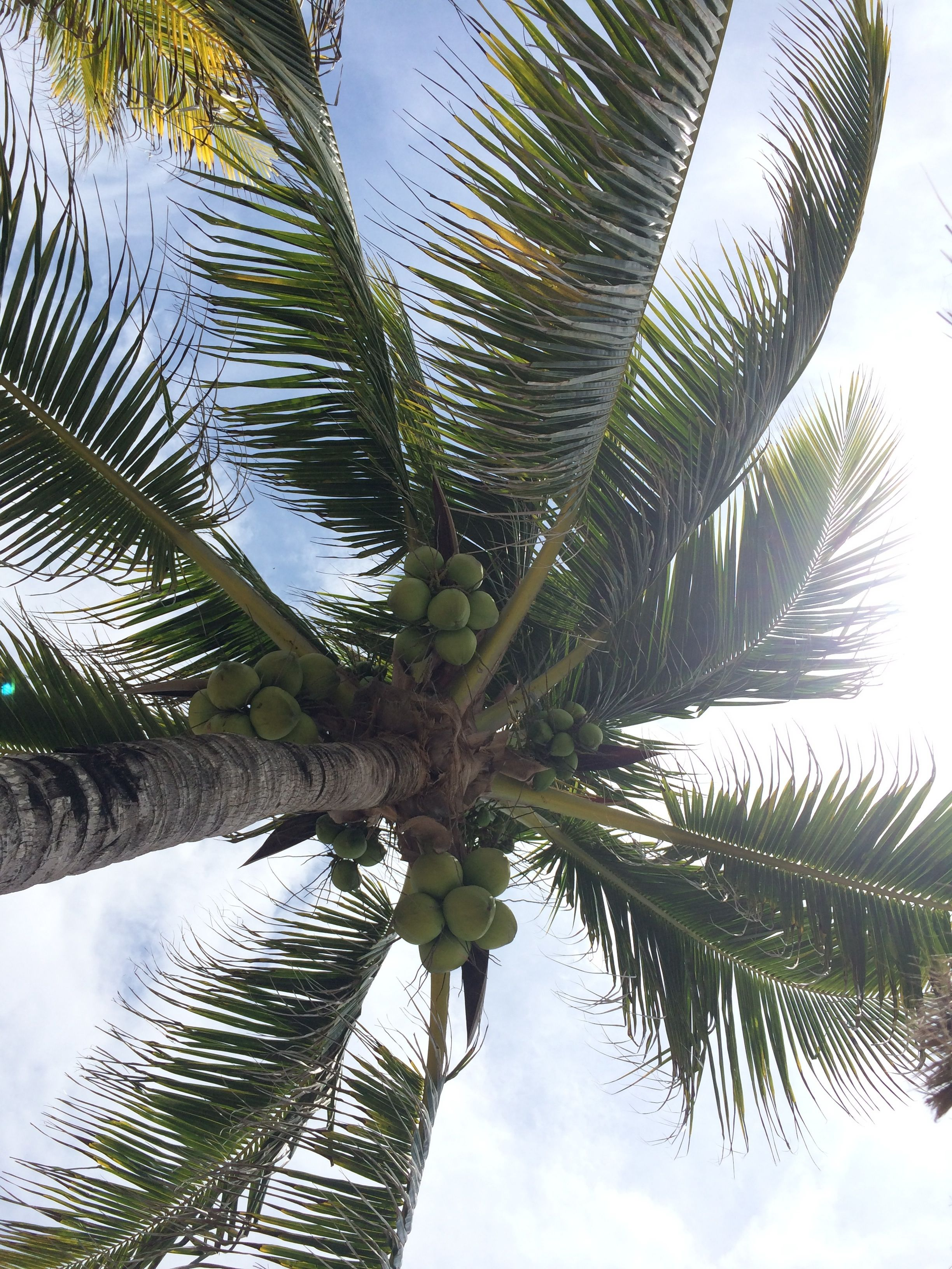 bm coconut tree