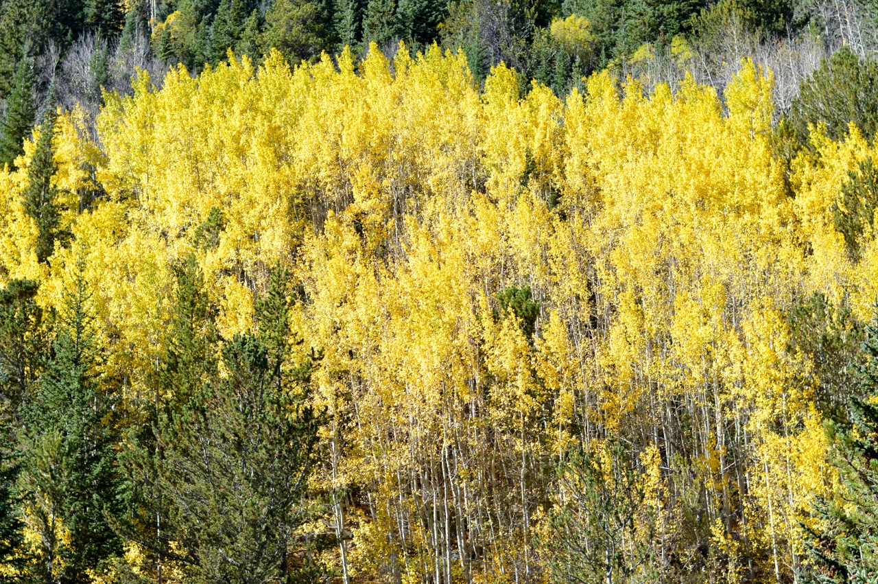 Fall leaf peeping in Colorado 9.jpg