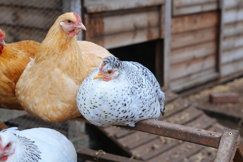 Chickens-Stepney-Farm