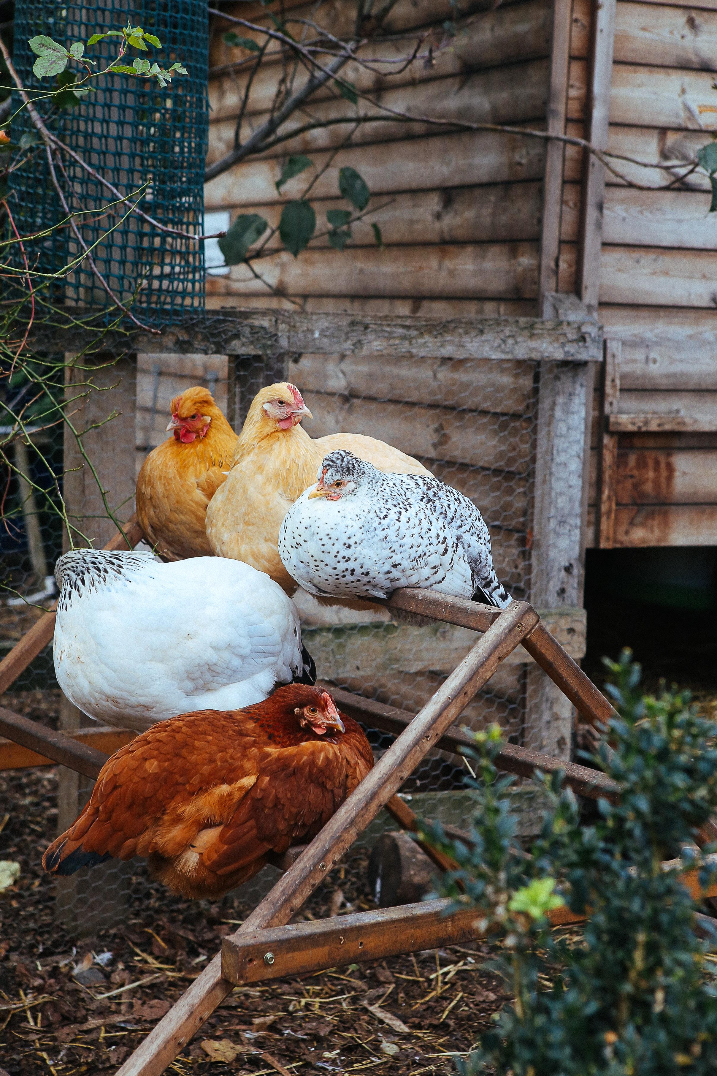 Chickens-Stepney-City-Farm