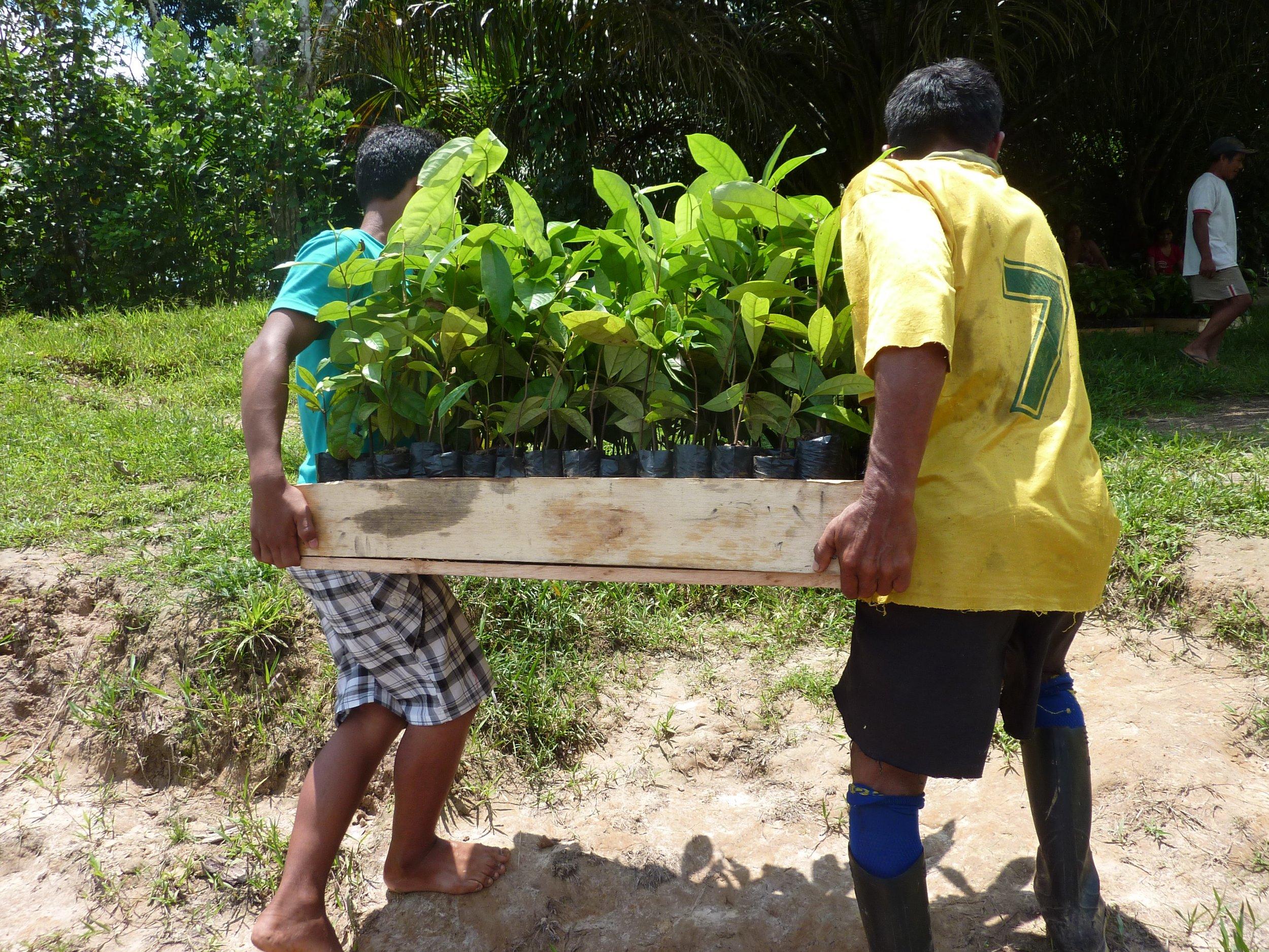 Unloading rosewood seedlings in February of 2013 in Ampiyacu, Loreto, Peru.