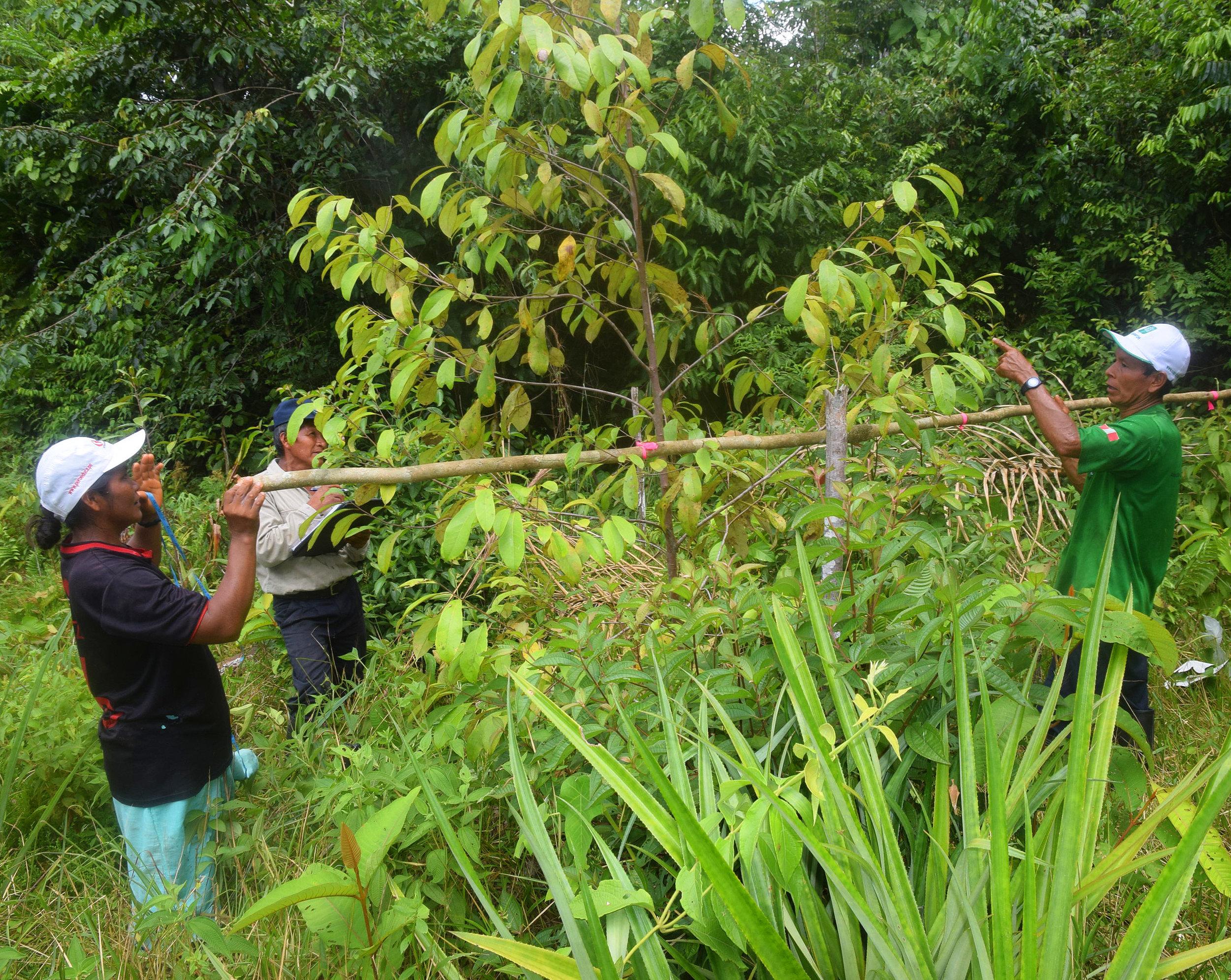 Measuring 3 year old rosewood trees in 2016, Ampiyacu, Loreto, Peru.