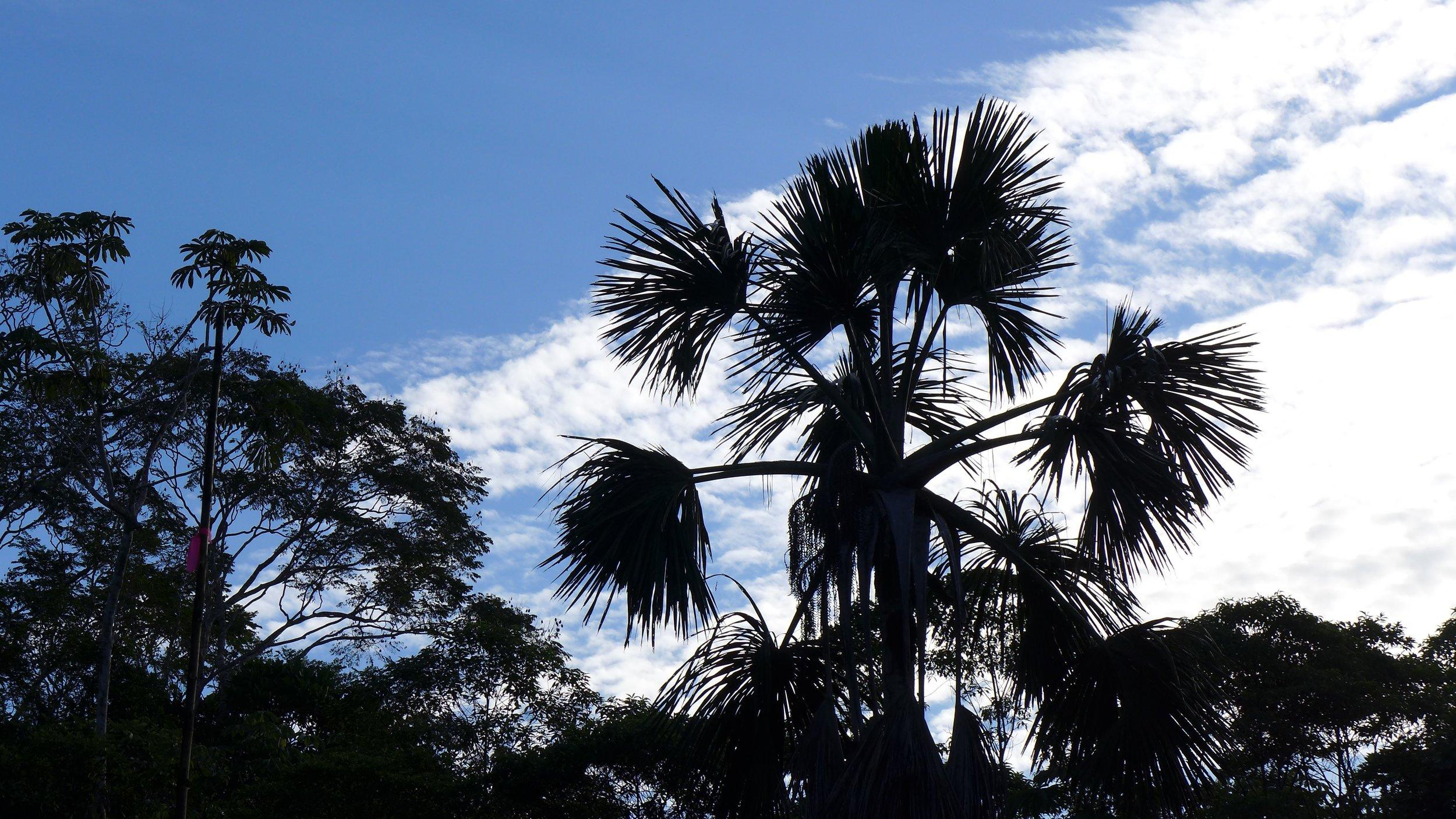Aguaje - Mauritia flexuosa